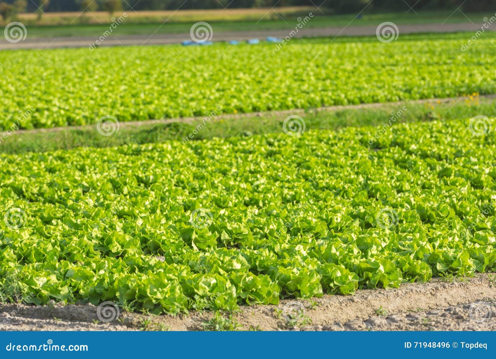 Культивируемое поле: свежие строки кровати зеленого салата