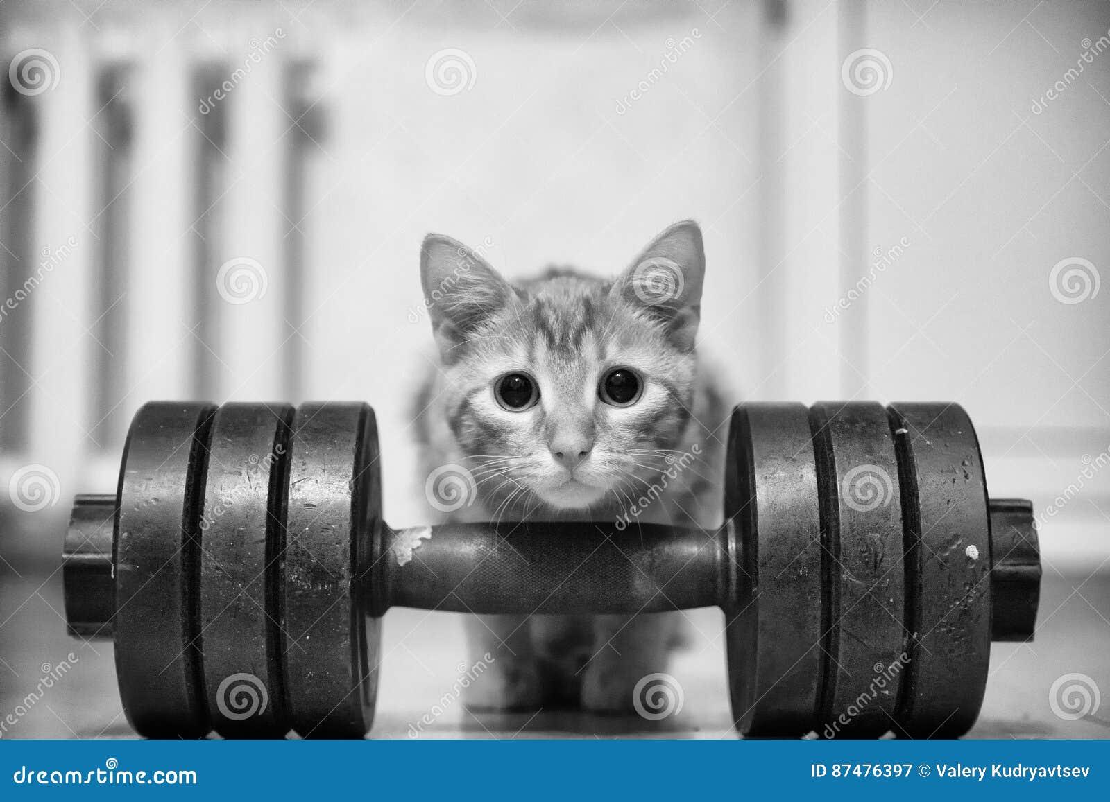 Культурист Powerlifter спортсмена кота