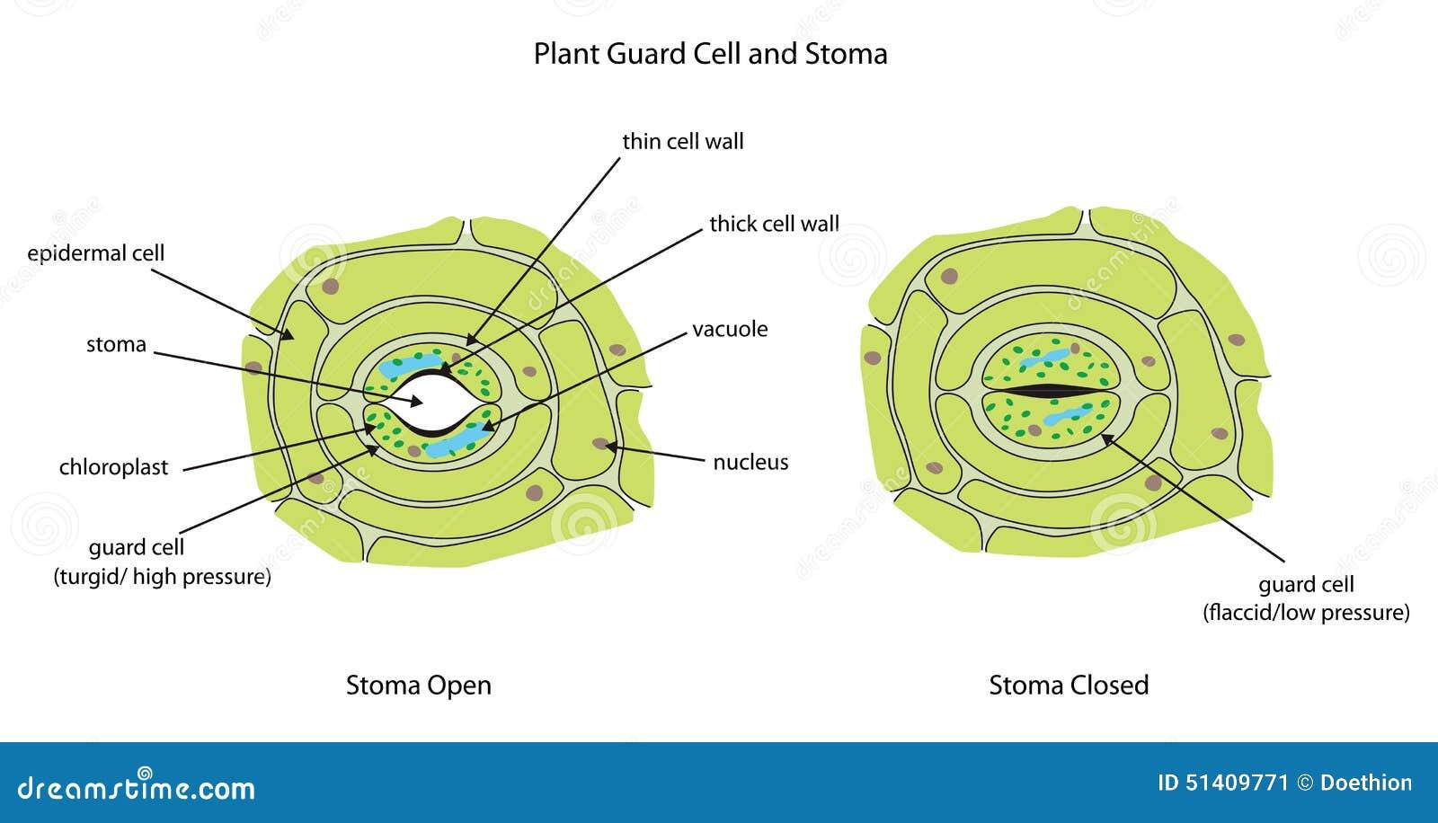 254 Plant Cell Anatomy Stock Vector Image 43912193 Monera