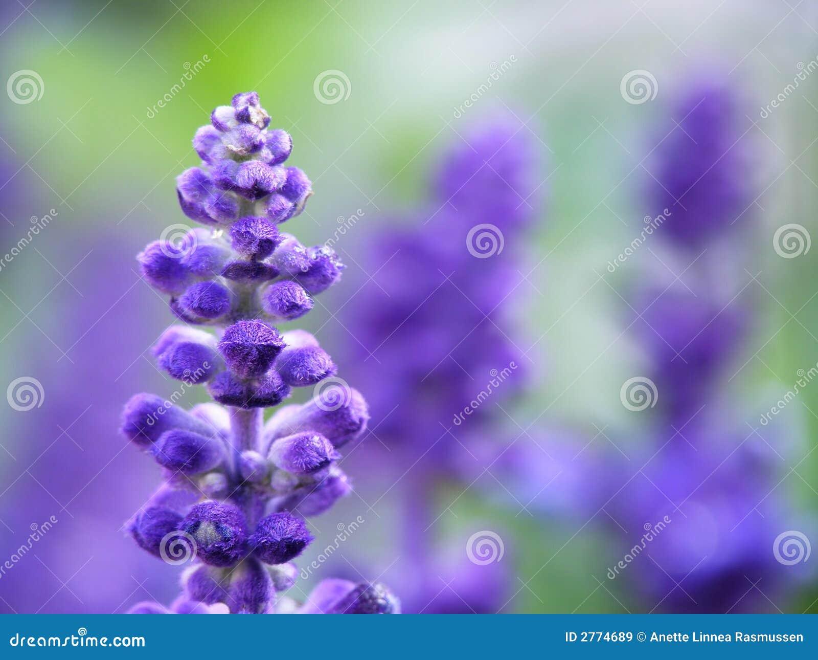 лаванда цветка