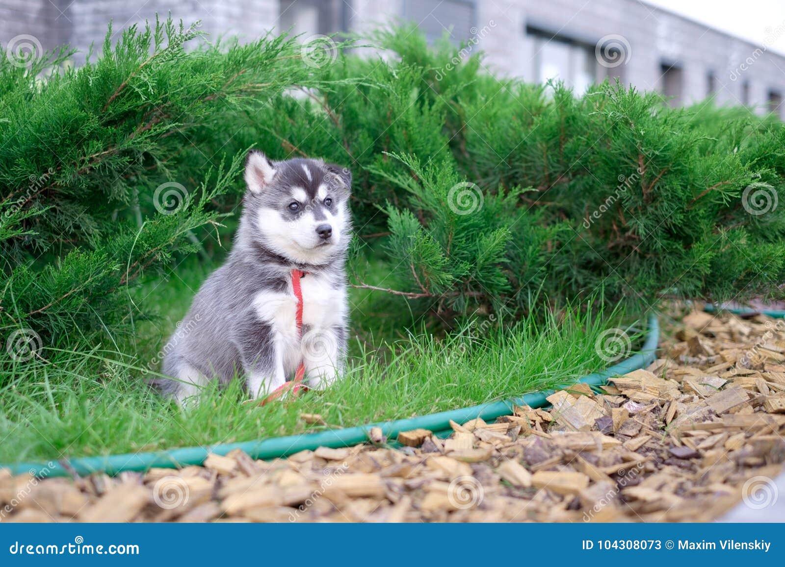 Лайка собаки щенка ждет на улице, с космосом экземпляра для текста, сиротливая концепция влюбленности