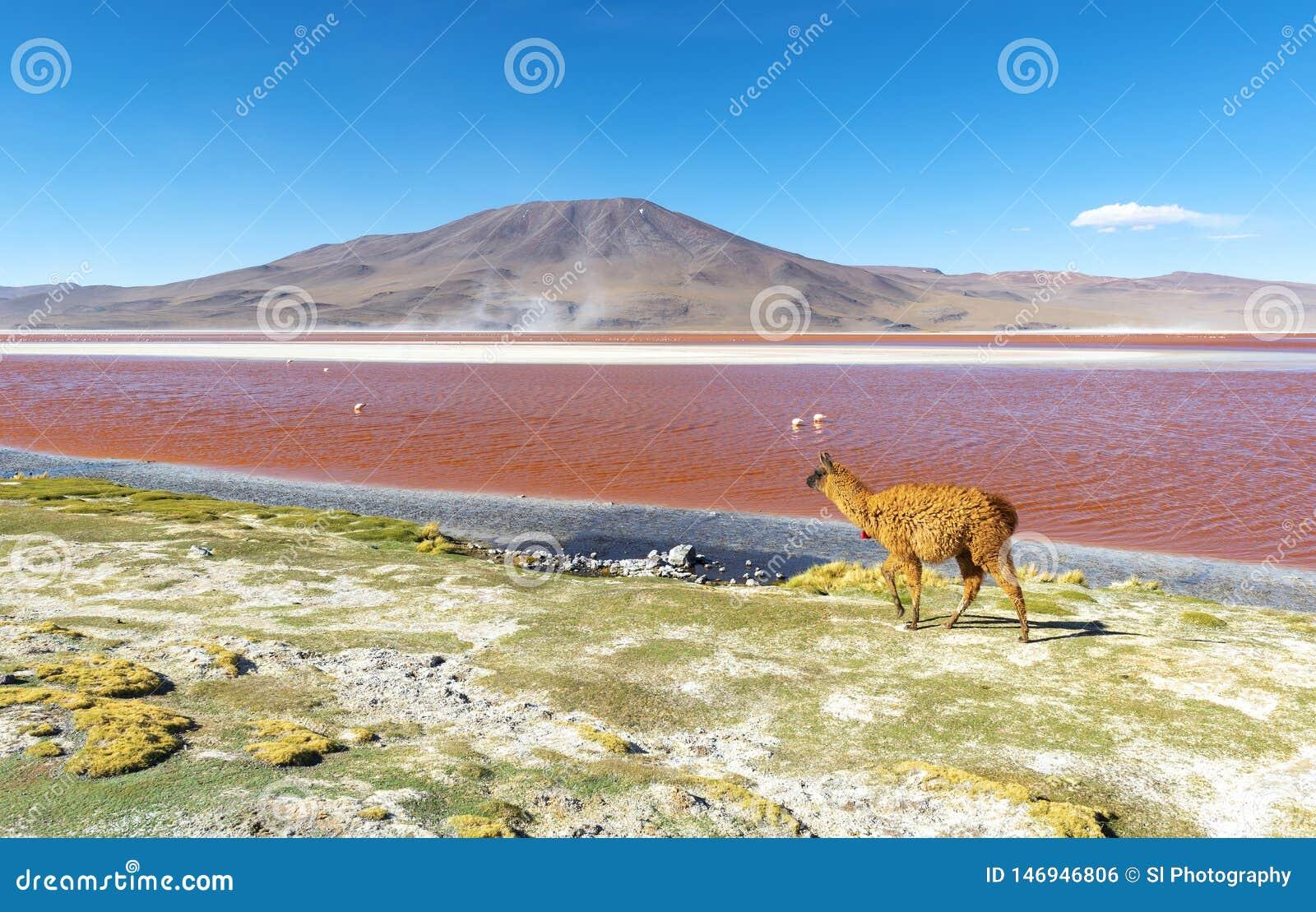 Лама красной лагуной Laguna Colorada, Боливией