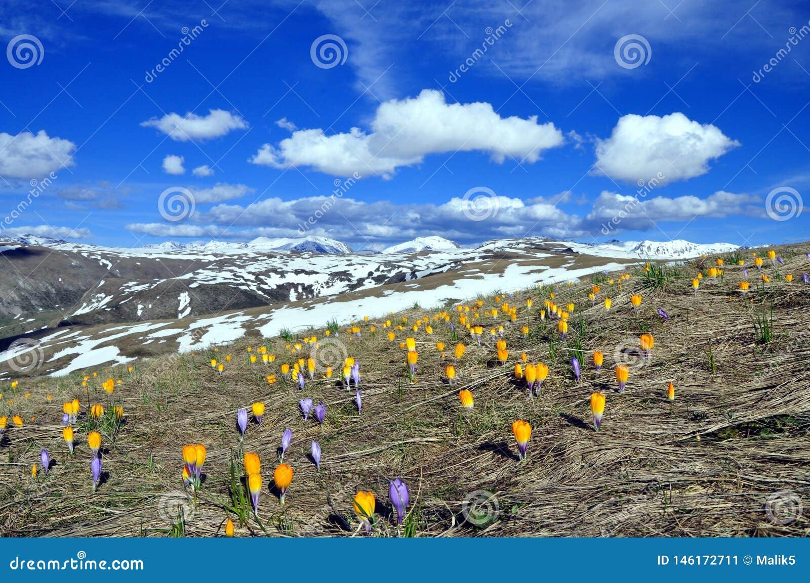 Ландшафт весны с много крокусов в горе