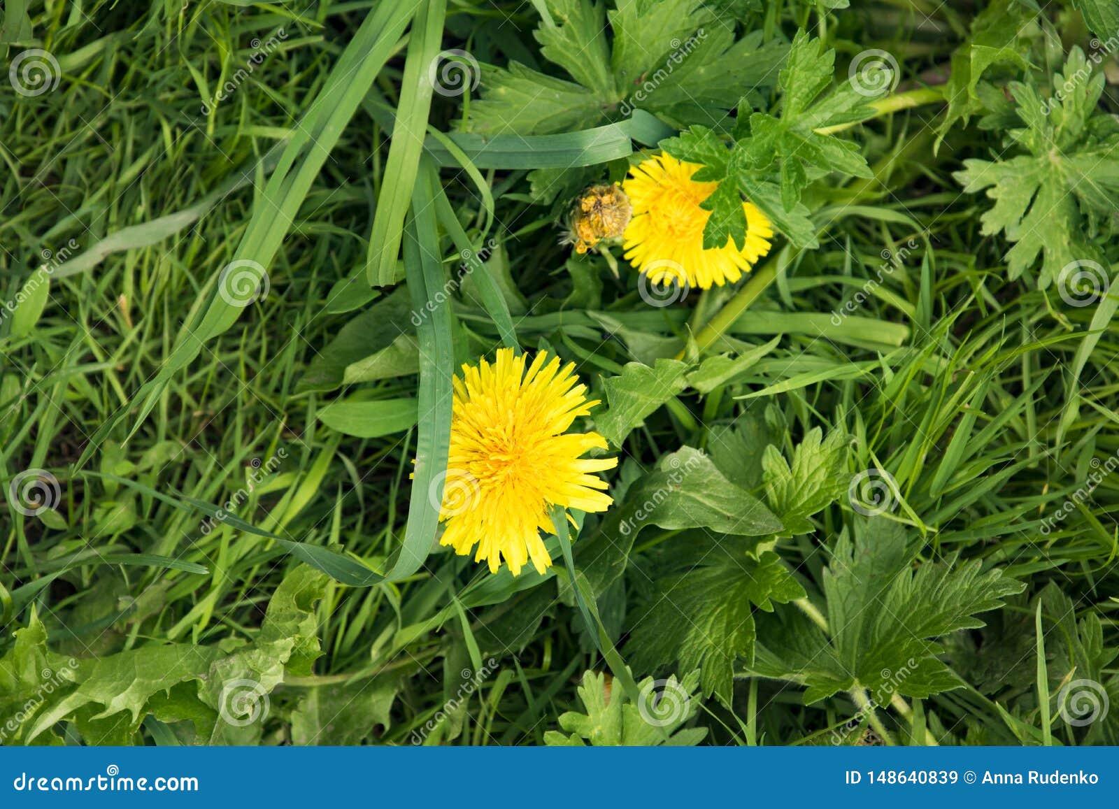 Ландшафт лета, парк, желтые пушистые одуванчики среди толстой сочной травы