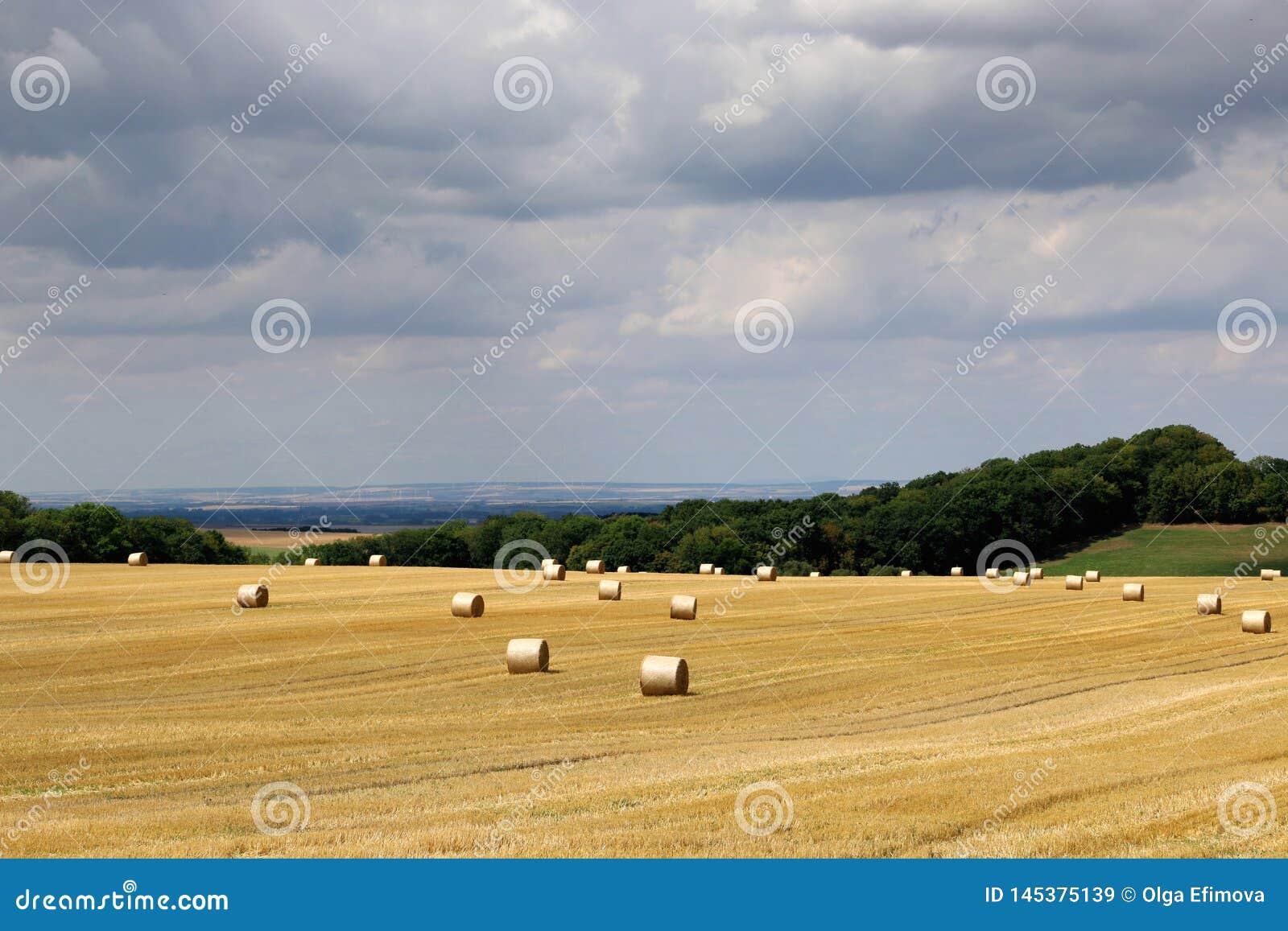 Ландшафт лета сельский со сбором поля, hayrolls, голубого неба, деревьев на горизонте Солнечное утро