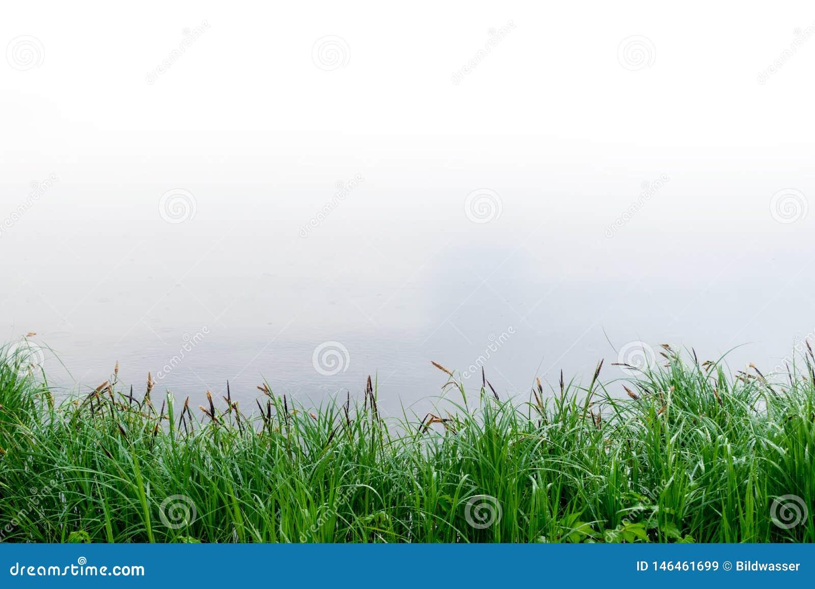 Ландшафт лета с тростниками и предпосылкой болота