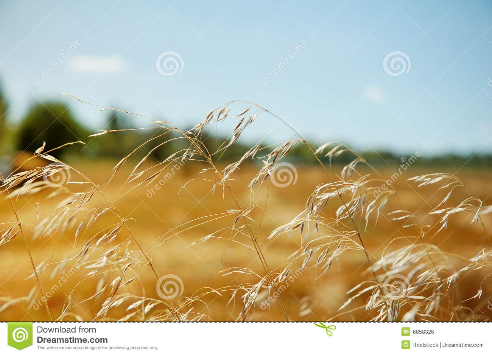 ландшафт поля зрея сельская пшеница