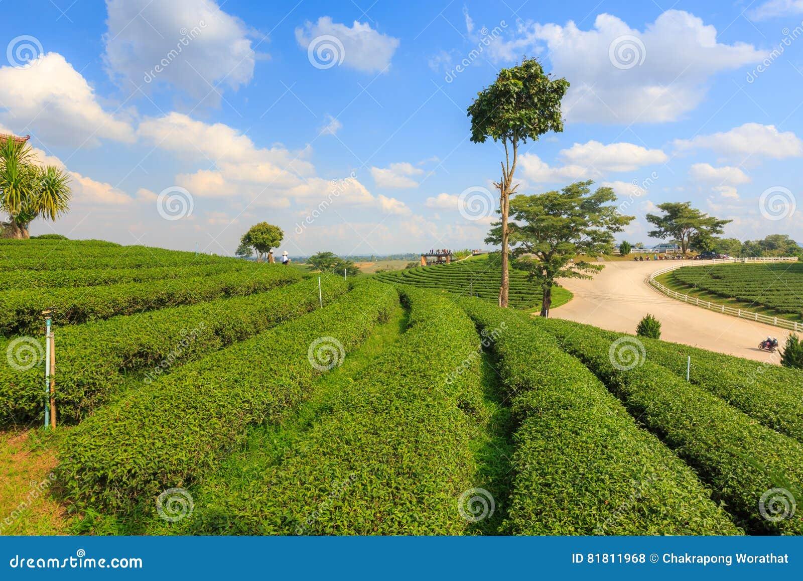Ландшафт сада плантации зеленого чая, культивирование холма