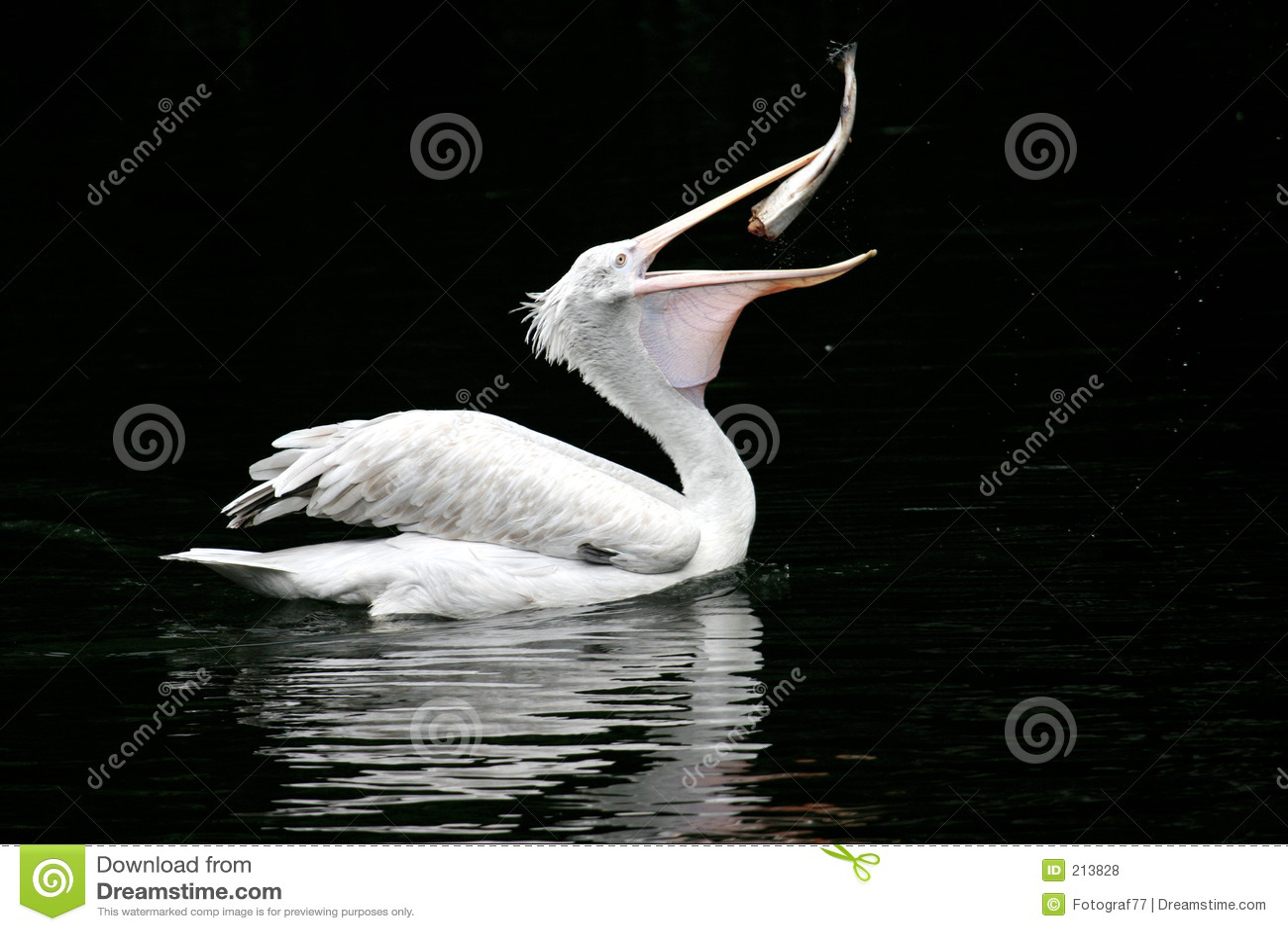 ласточки пеликана рыб