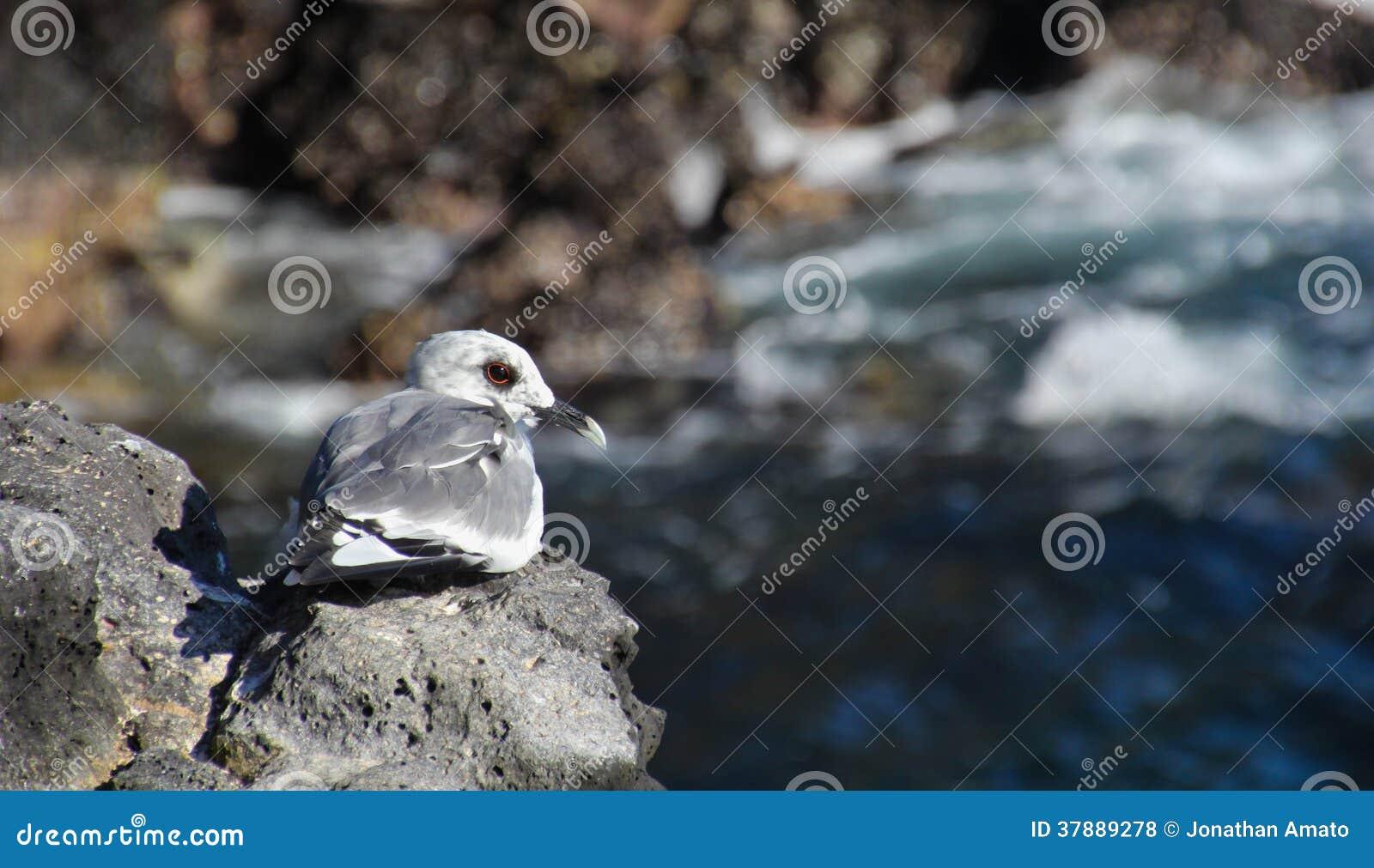 Ласточк-замкнутая чайка