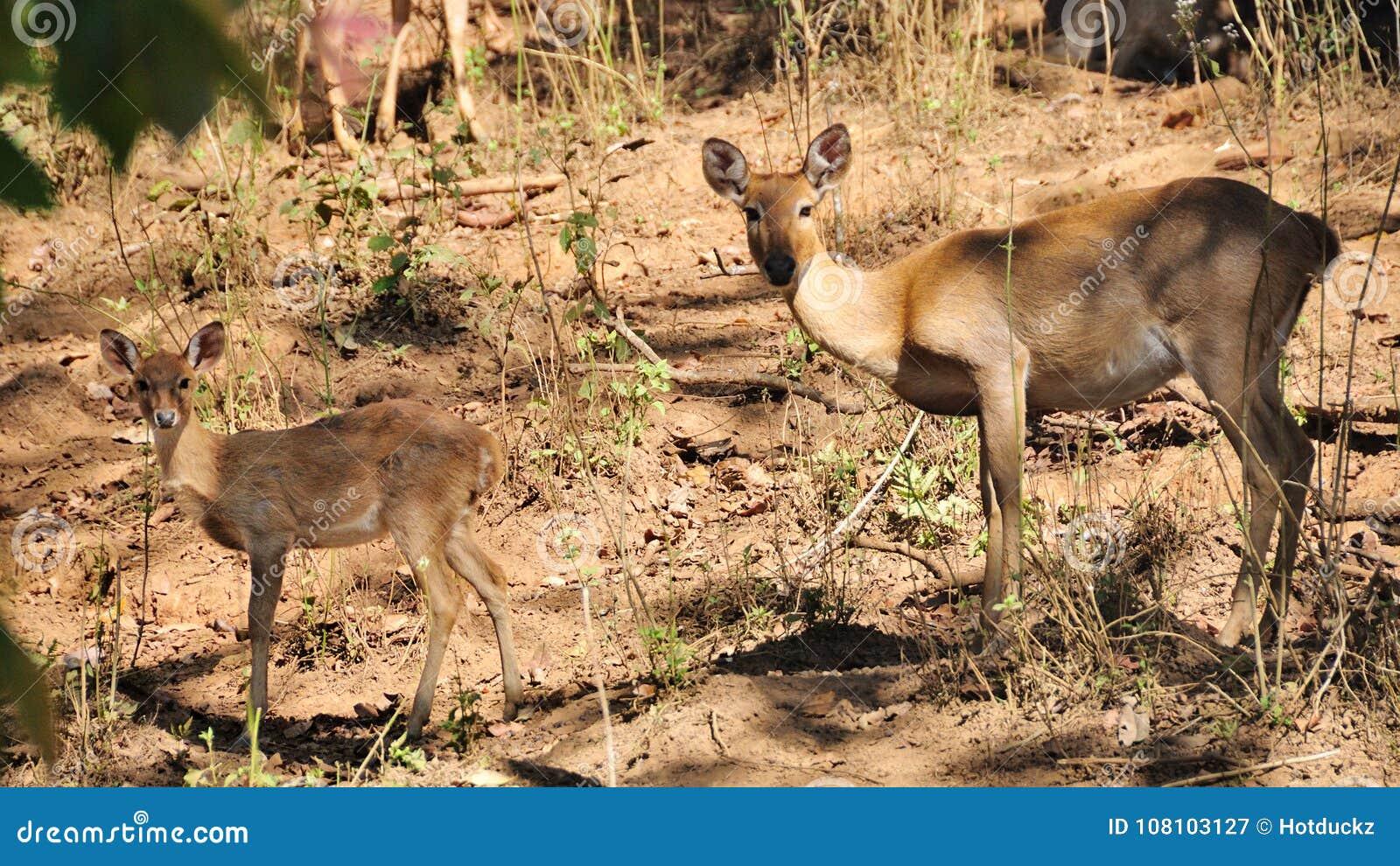 Лаяя олени, мать и ее ребенк, в одичалом