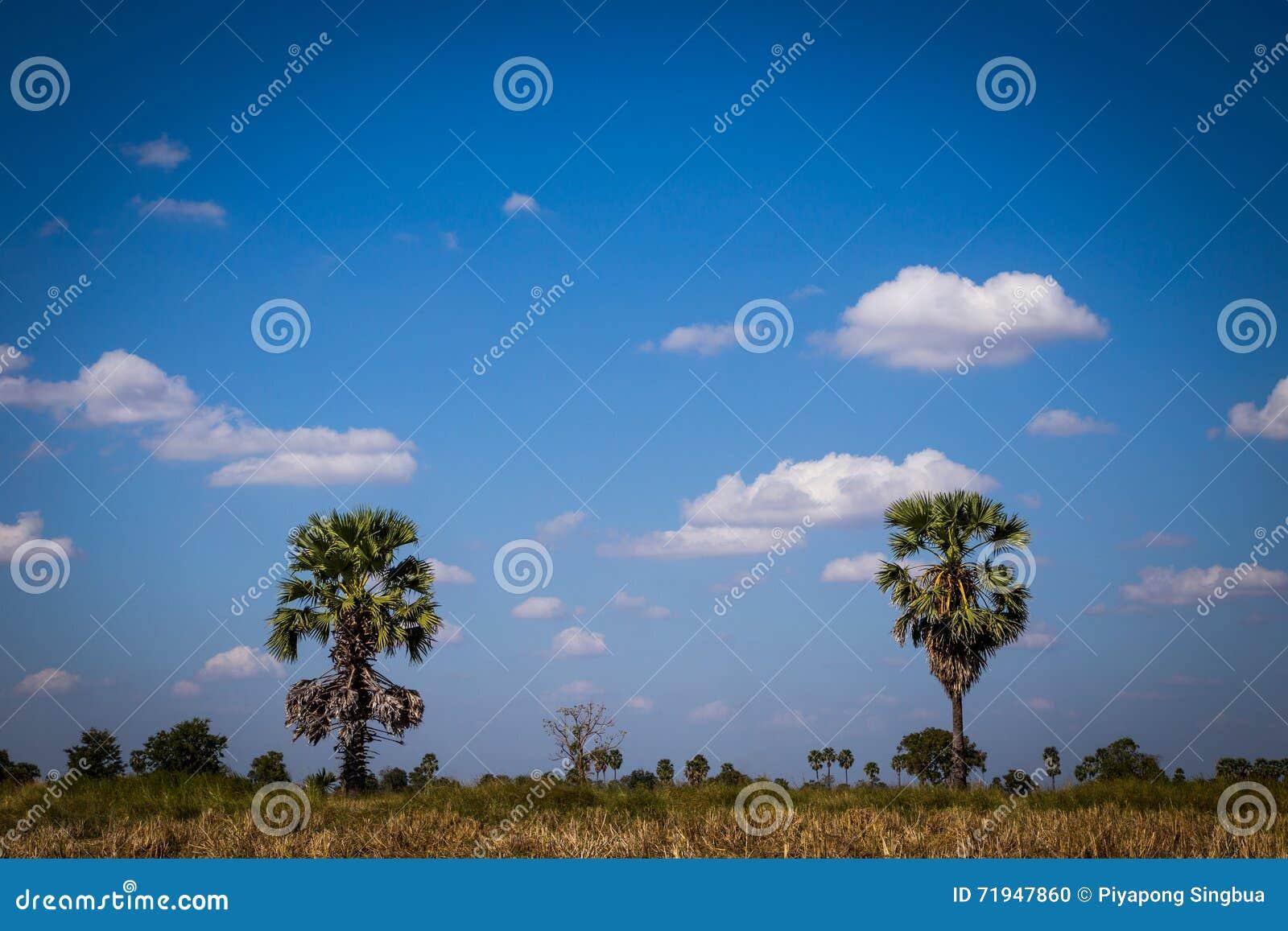 Ладонь сахара с полем риса на голубом небе