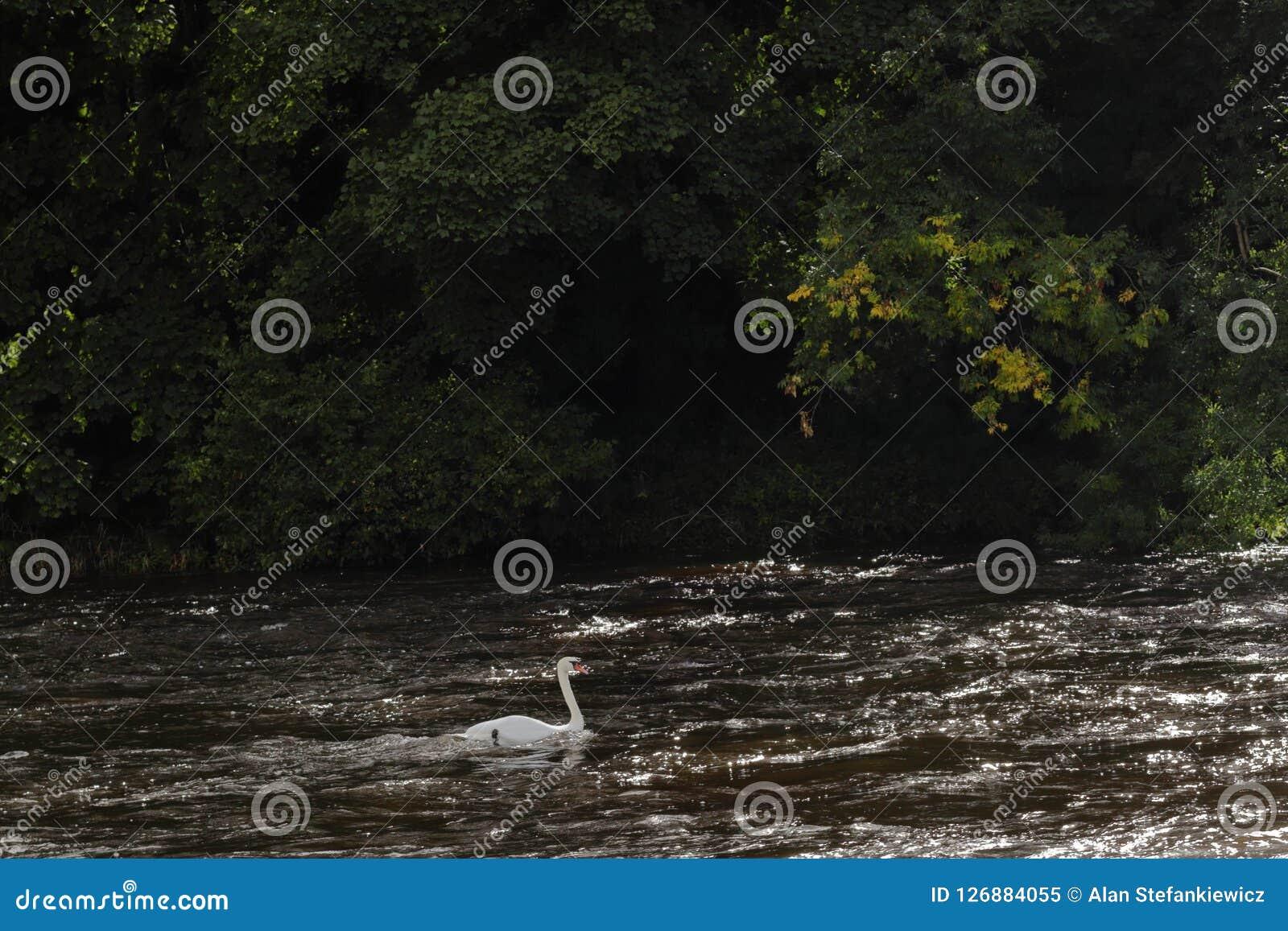 Лебедь в реке