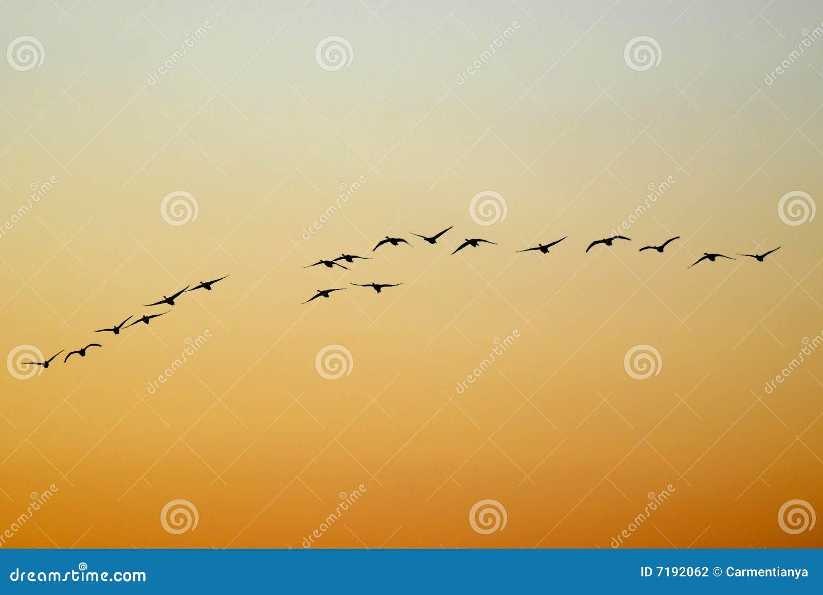лебедь летания