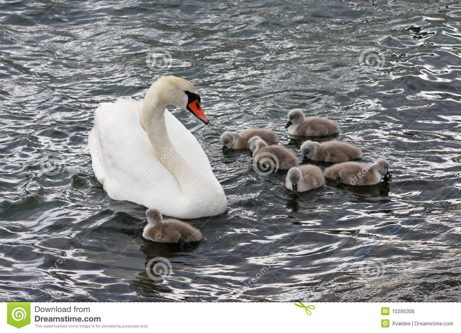 лебедь семьи
