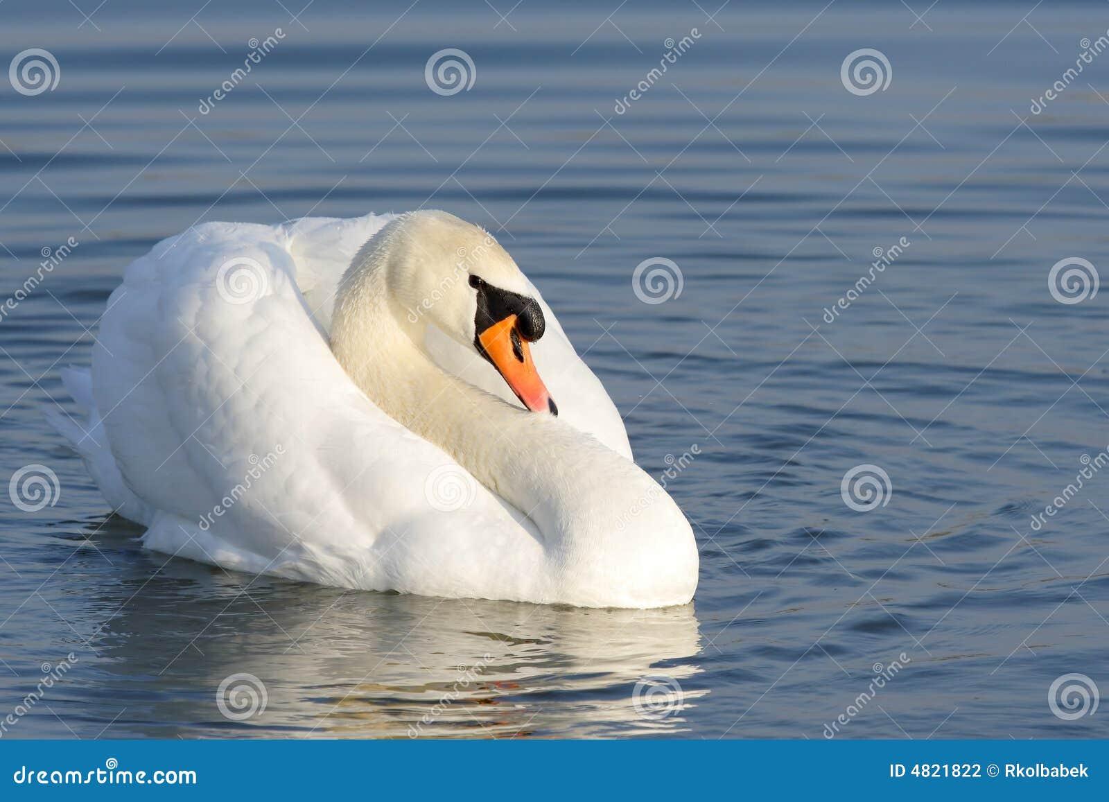 лебедь olor cygnus безгласный