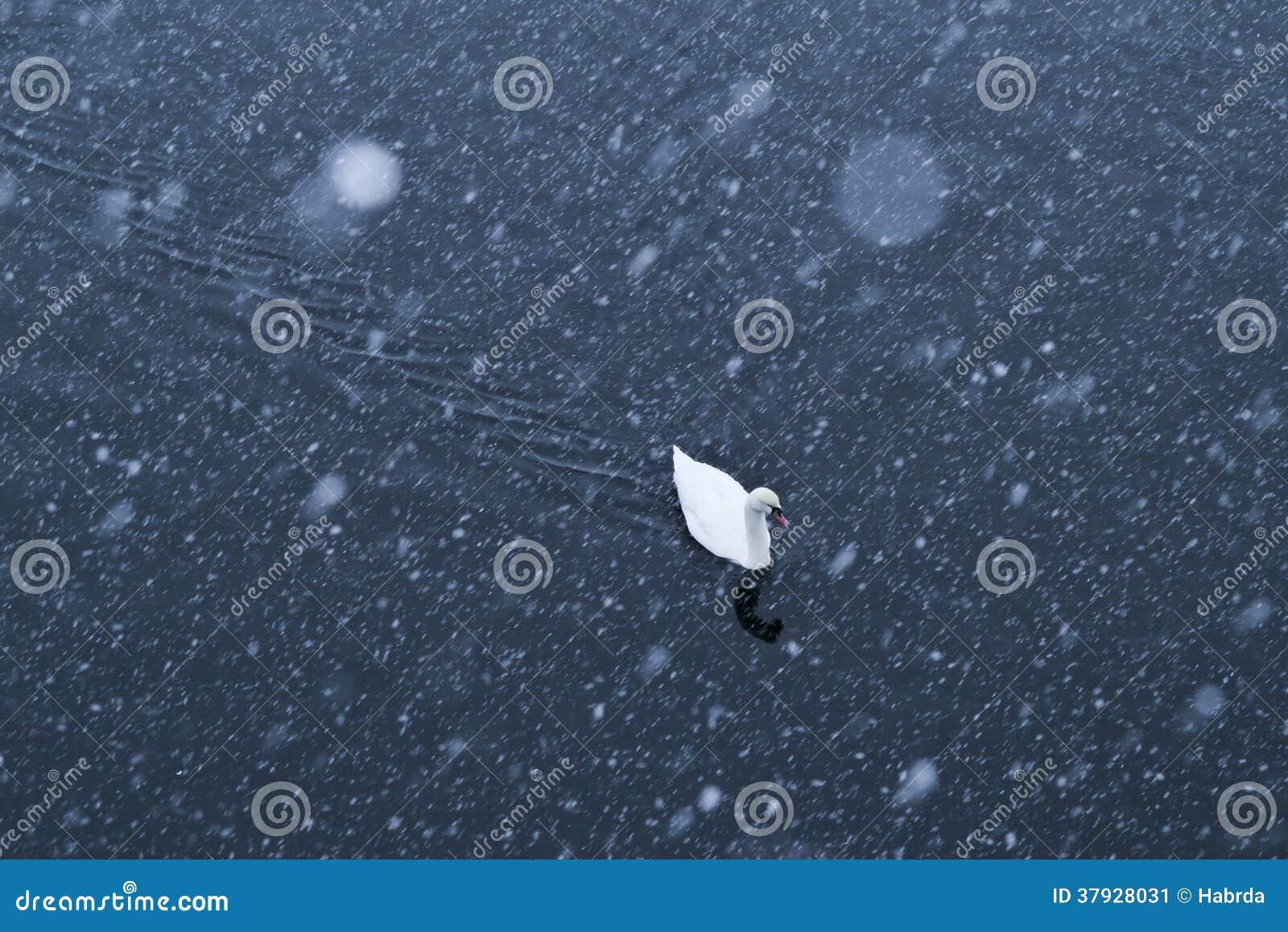 Лебеди в зиме