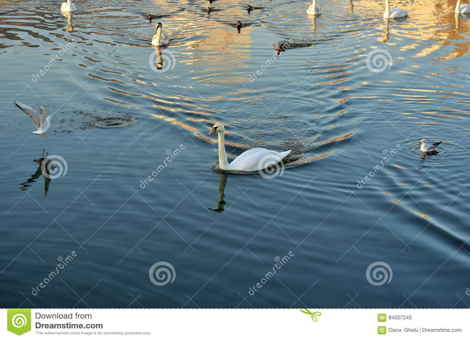 Лебеди, утки и чайки на реке