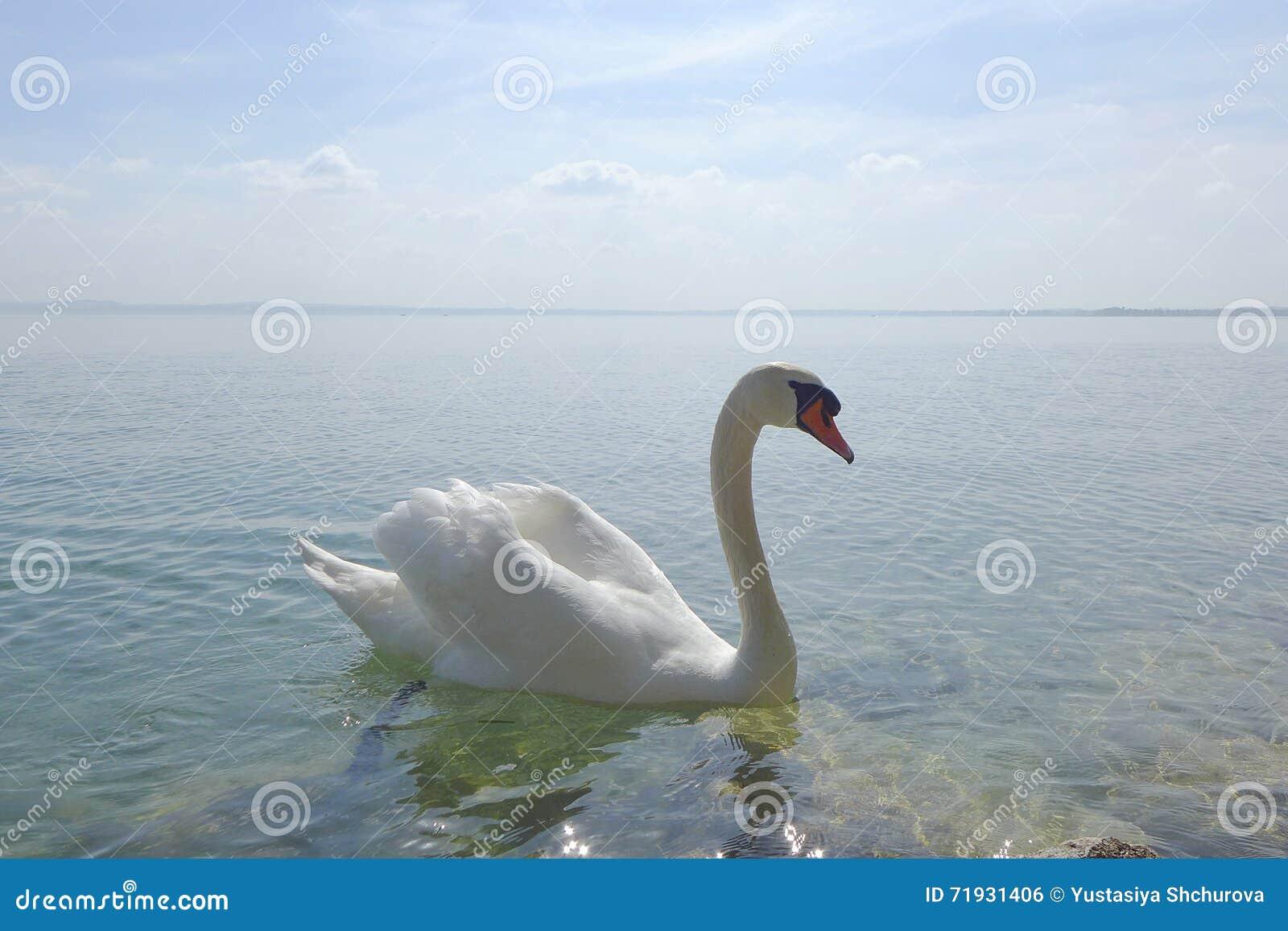 Лебедь на озере Garda