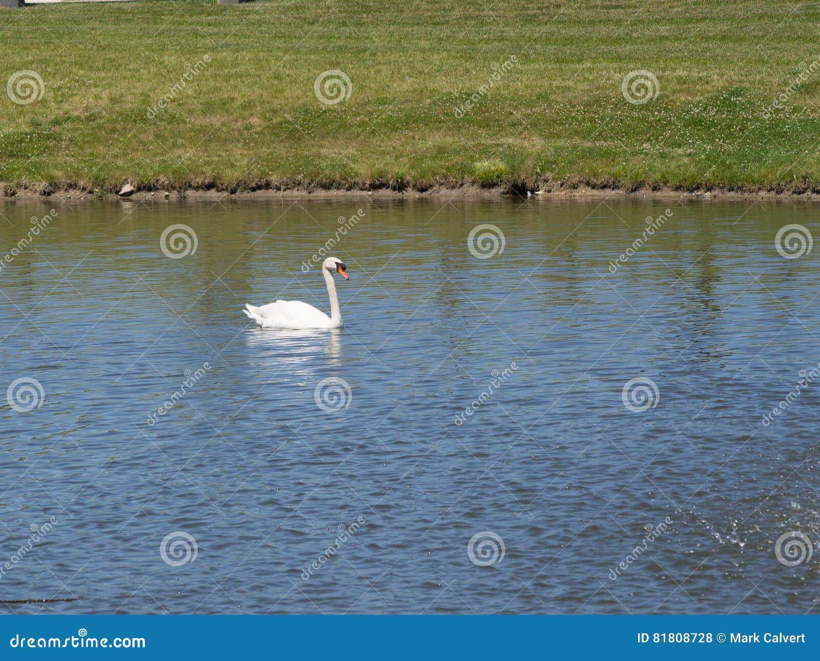 Лебедь снега белый на озере
