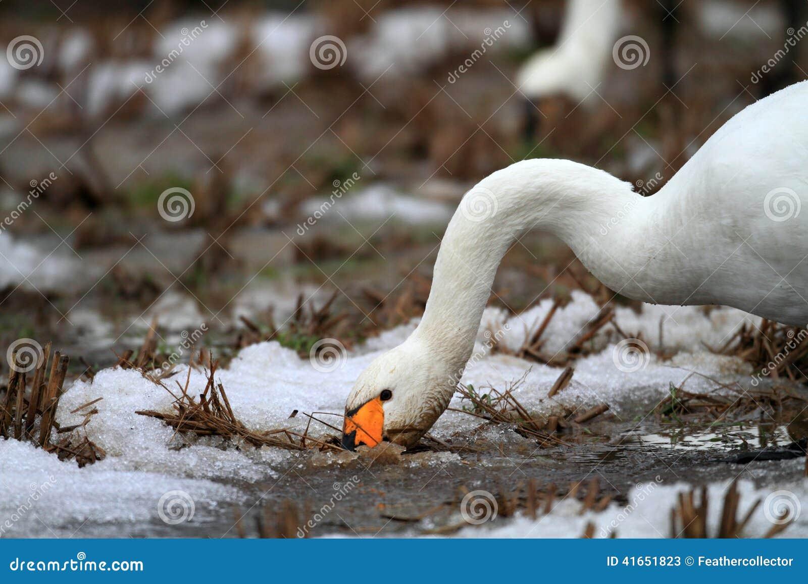 Лебедь тундры