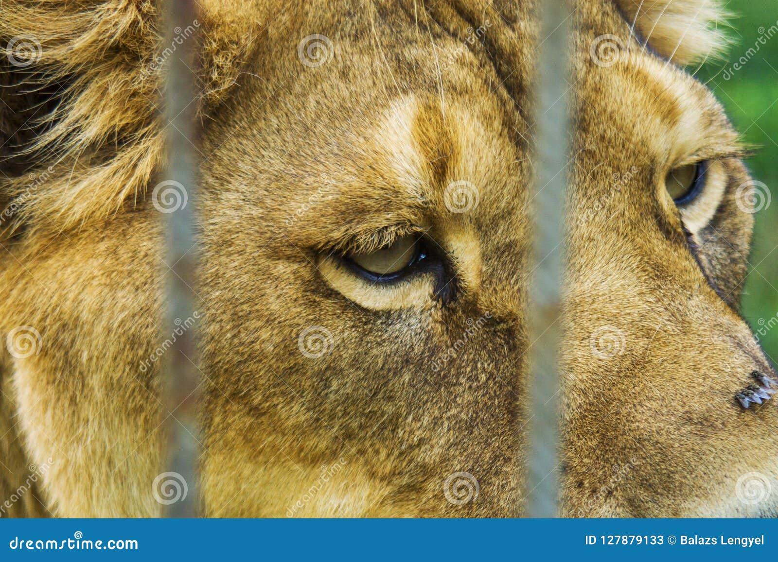 Лев за загородками Голова, портрет, конец вверх по фото