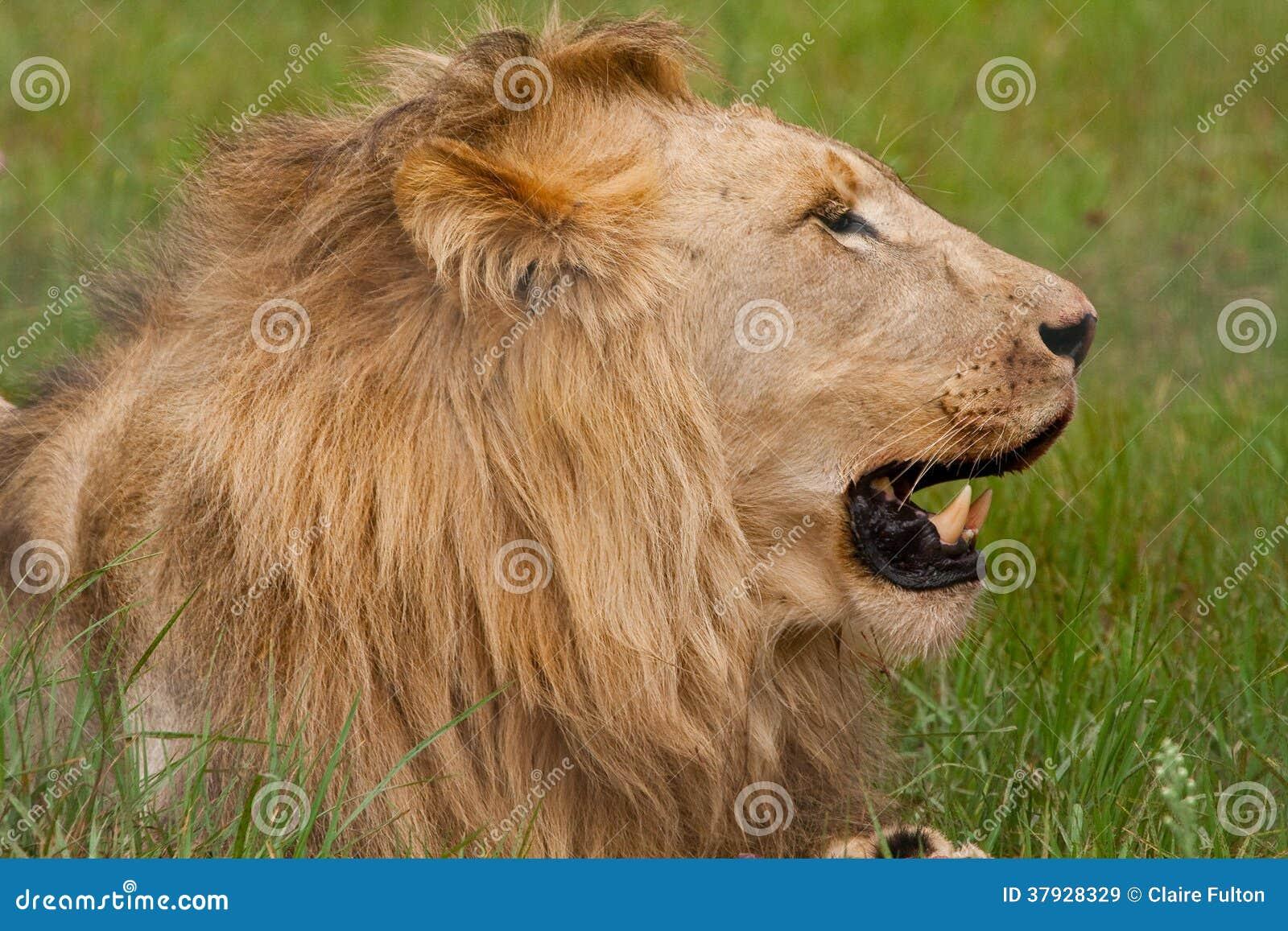 Лев (пантера leo)