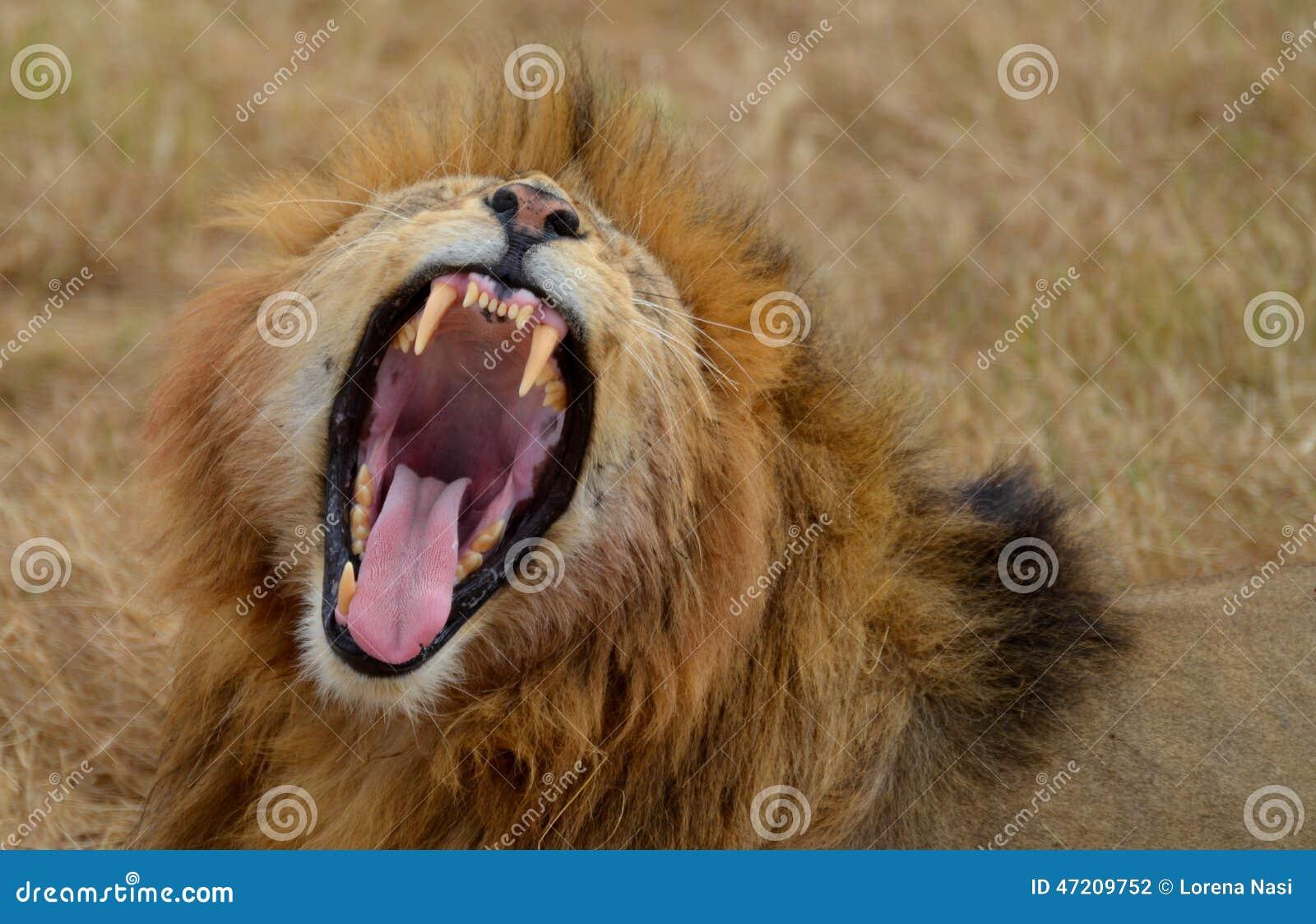 Лев реветь