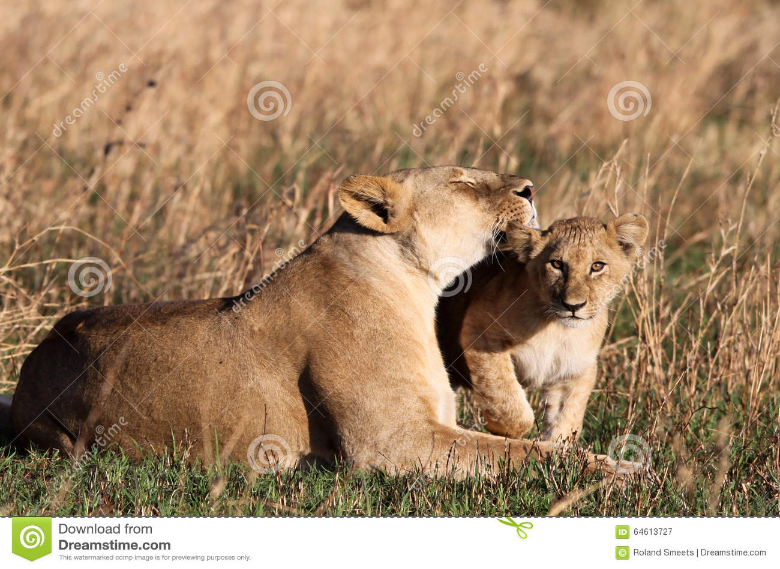 Лев любит Cub