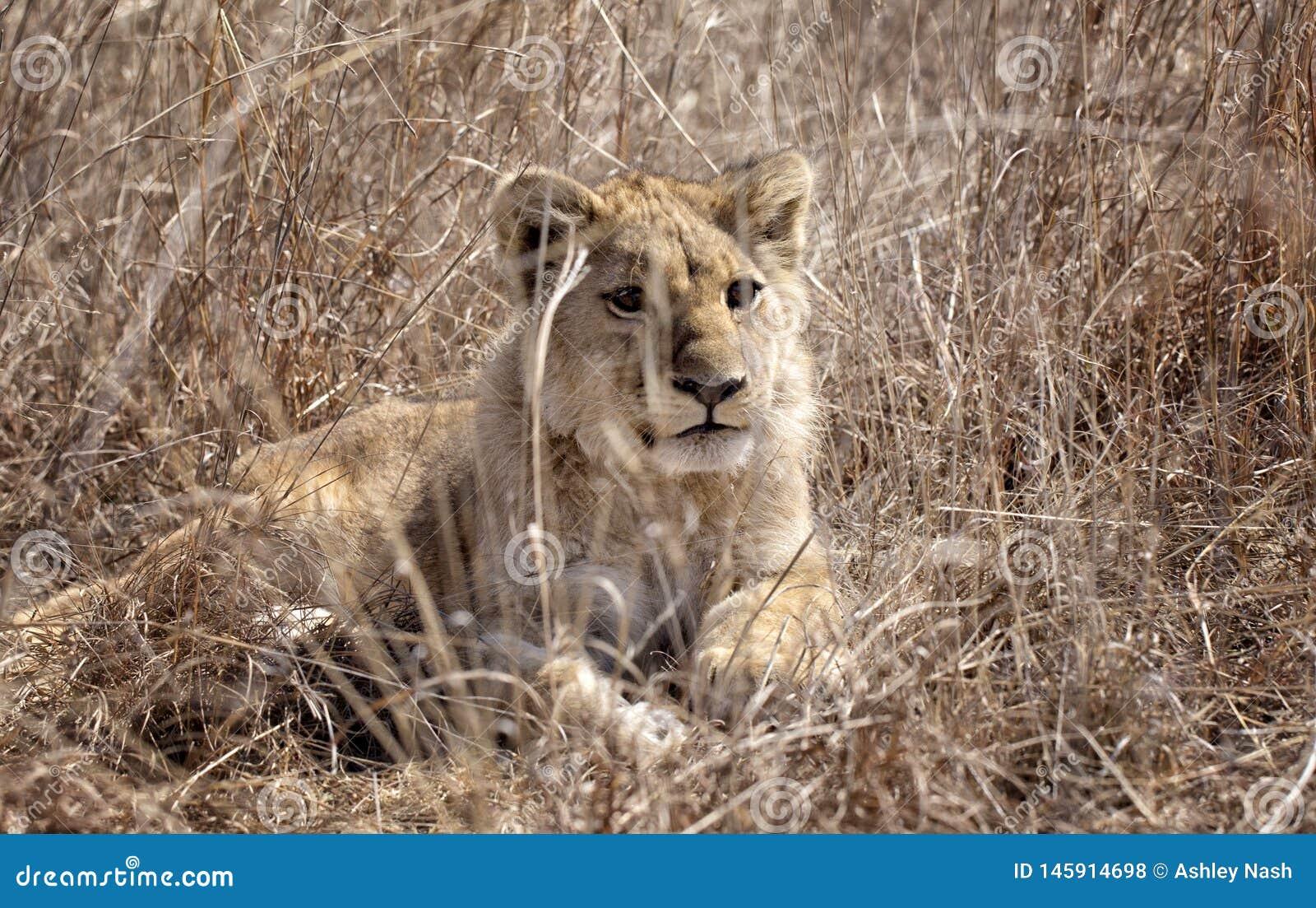 Лев Cub