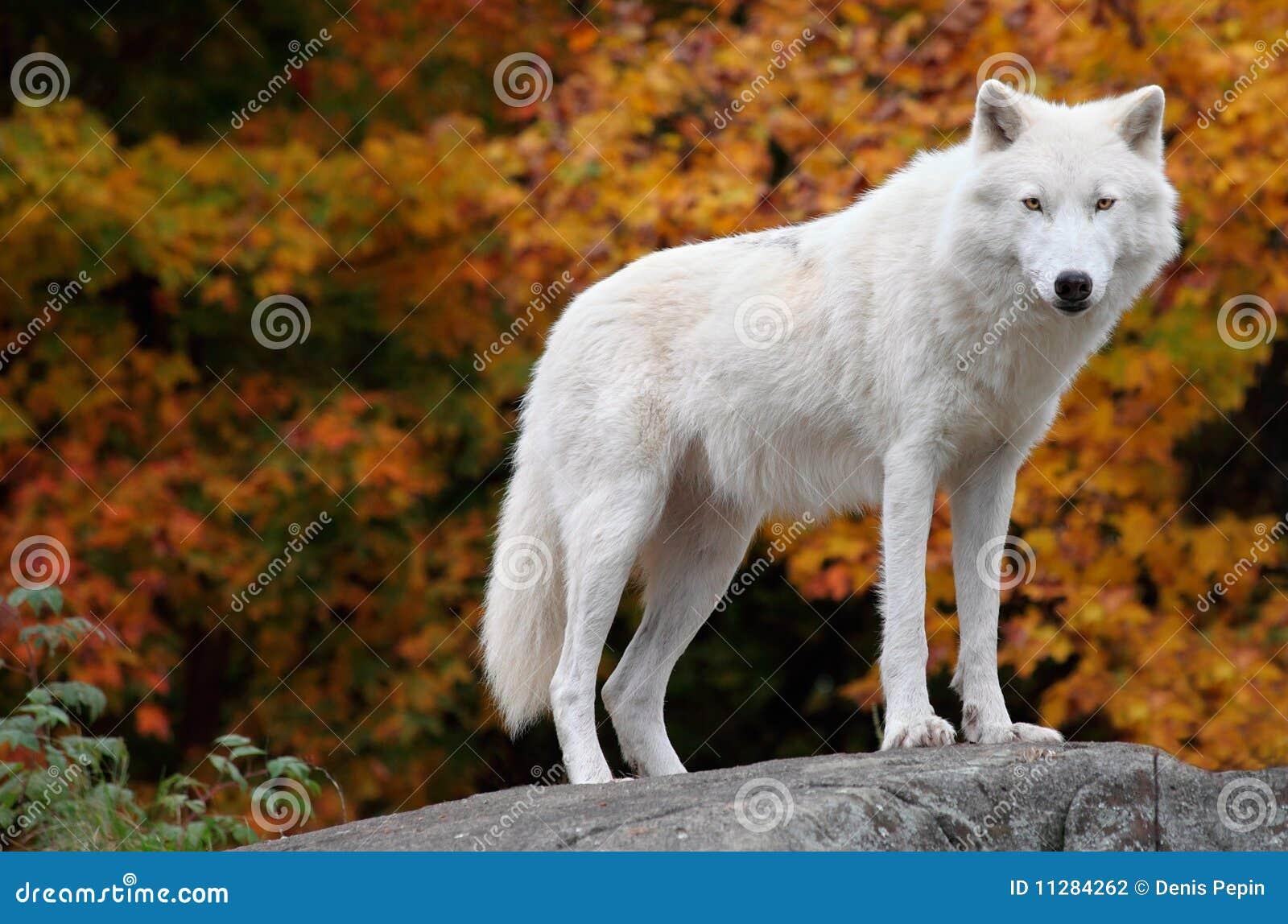 ледовитое падение дня камеры смотря волка