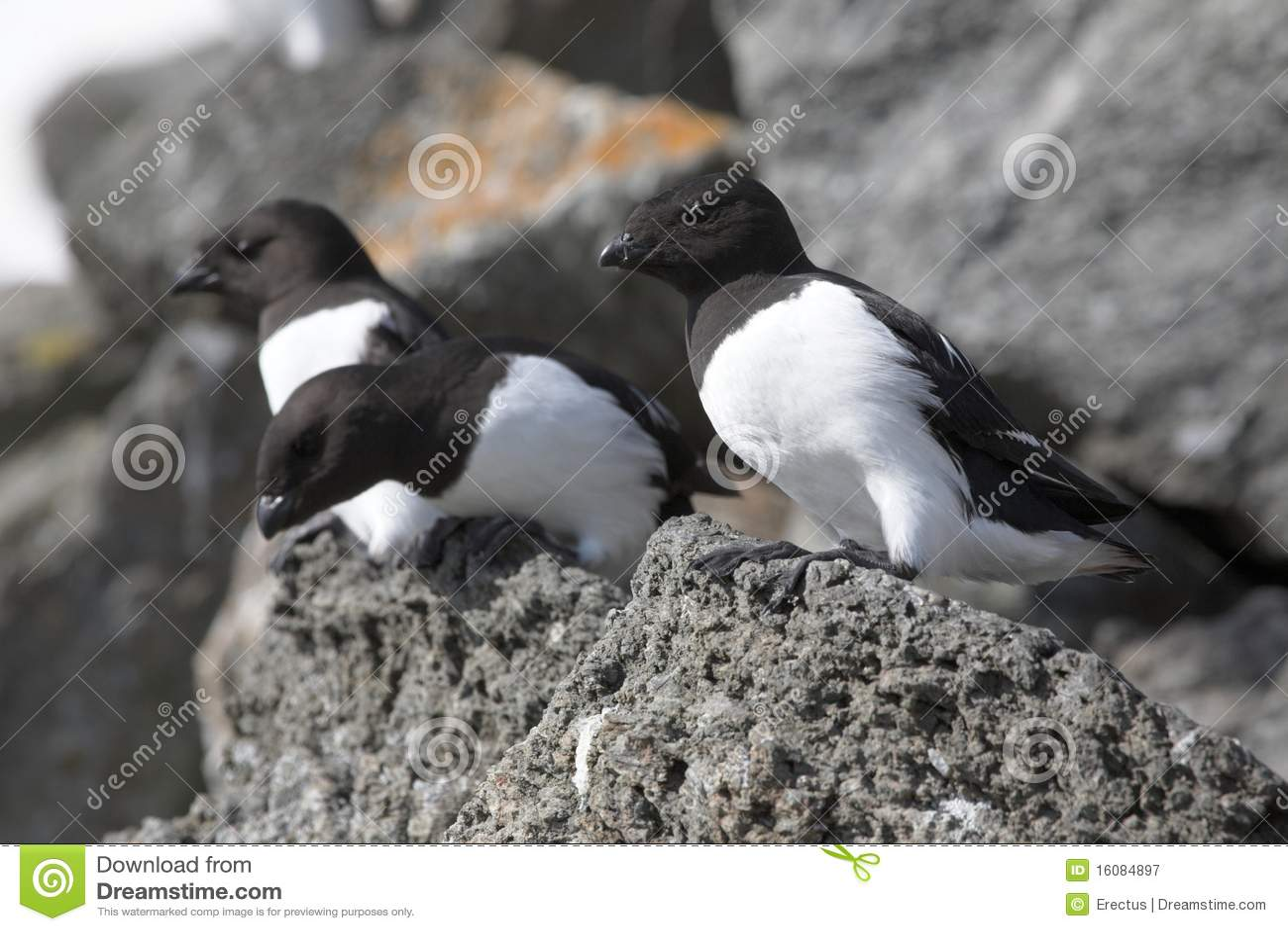 ледовитые птицы auk немногая