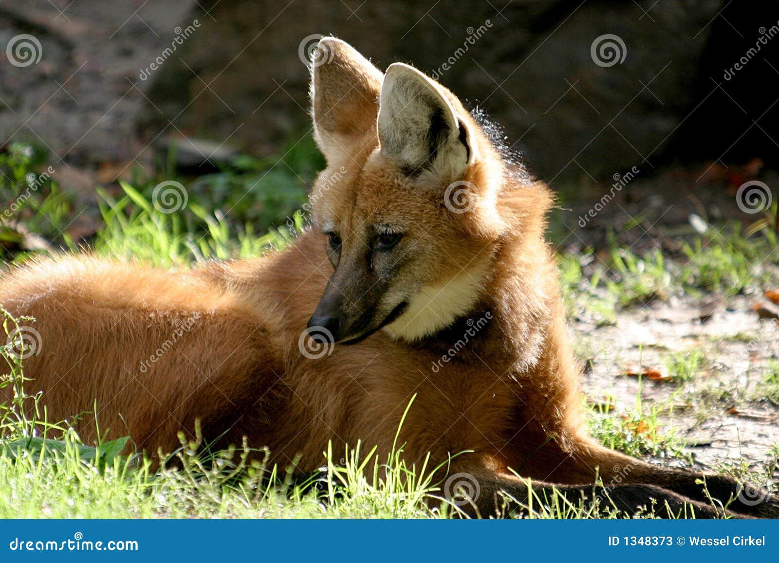 лежа maned волк солнца