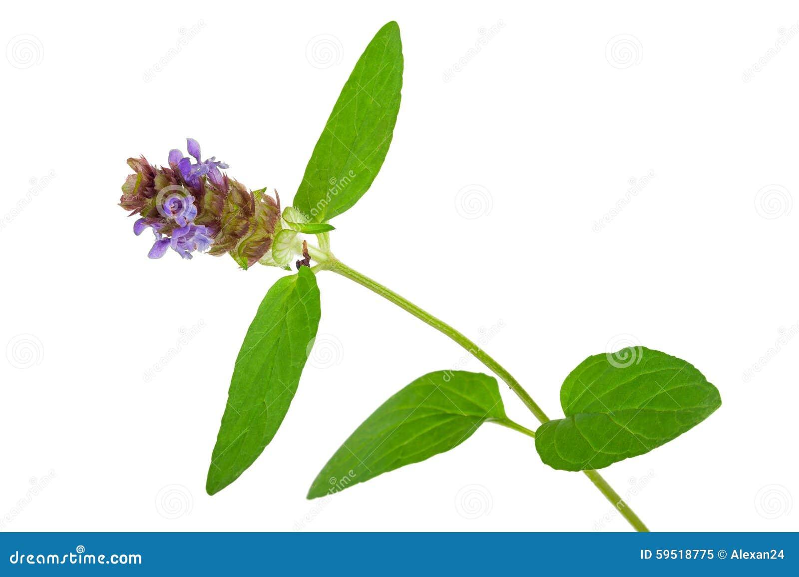 Лекарственное растение: Prunella vulgaris Само-излечите