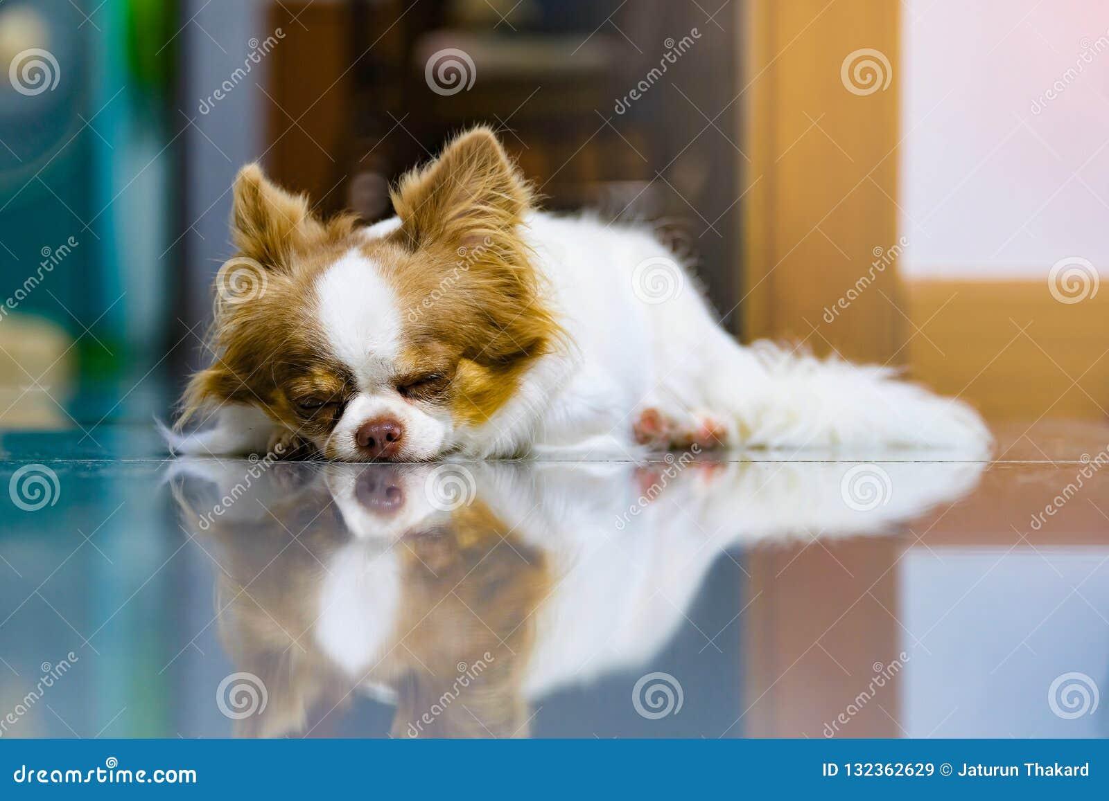 Ленивая собака, милый коричневый и белый чихуахуа спать и ослабляя на кафельном поле