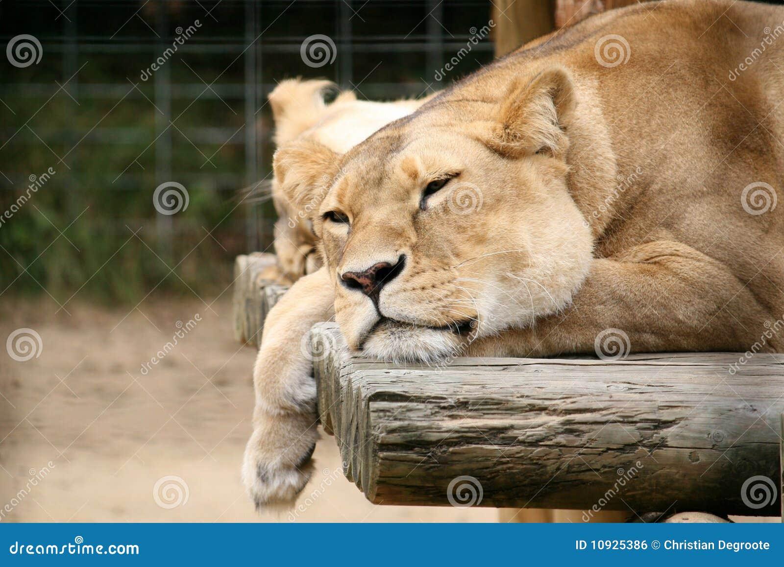 ленивый львев
