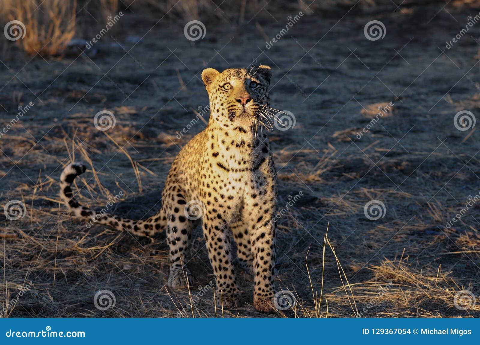 Леопард ищет задвижка, Намибия