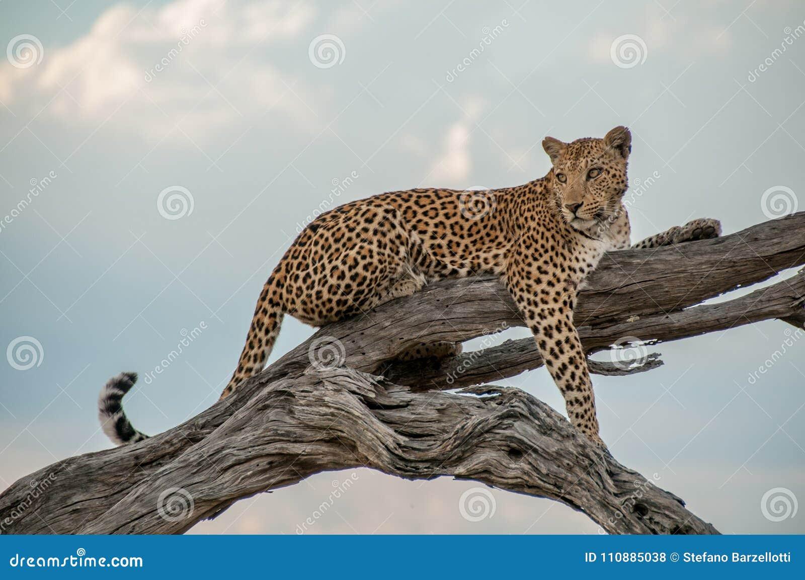 Леопард на дереве в Ботсване - Африке