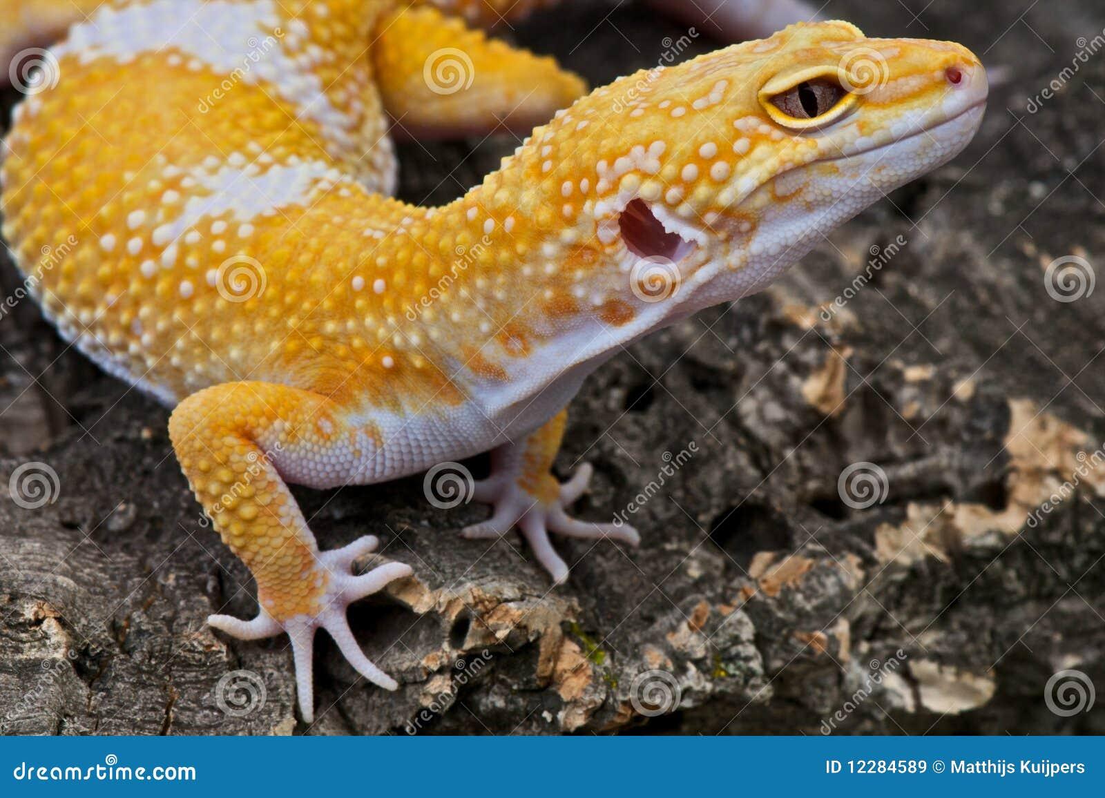 леопард gecko
