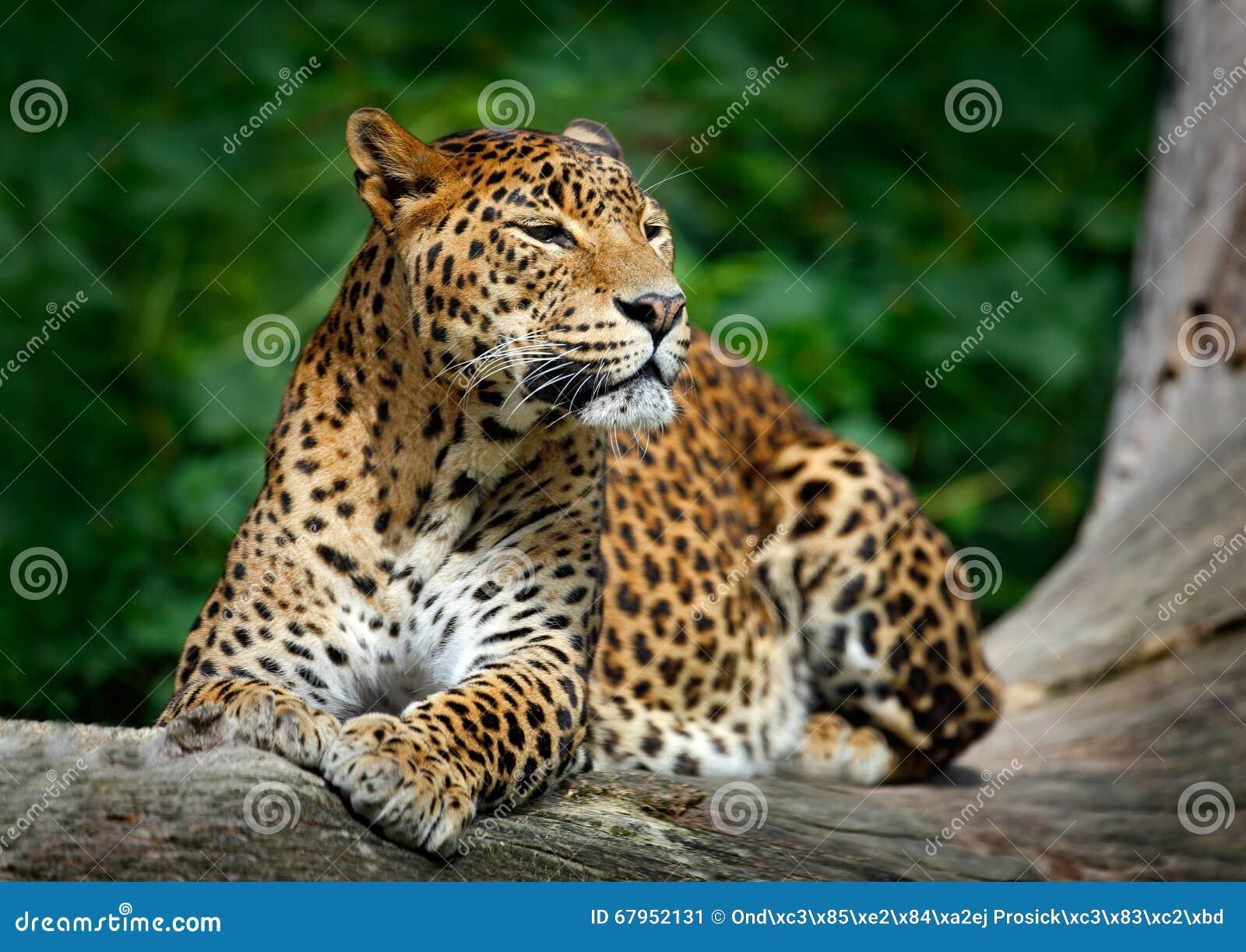 Леопард Sri Lankan, kotiya pardus пантеры, большой запятнанный кот лежа на дереве в среду обитания природы, национальный парк Yal