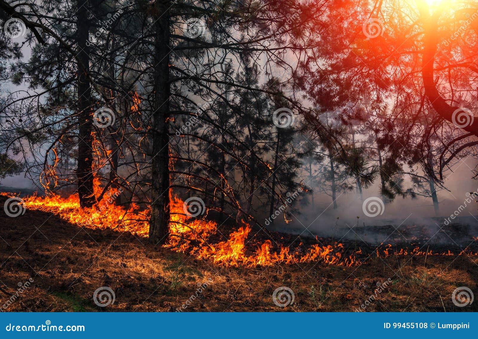 Лесной пожар на заходе солнца, горящий сосновый лес