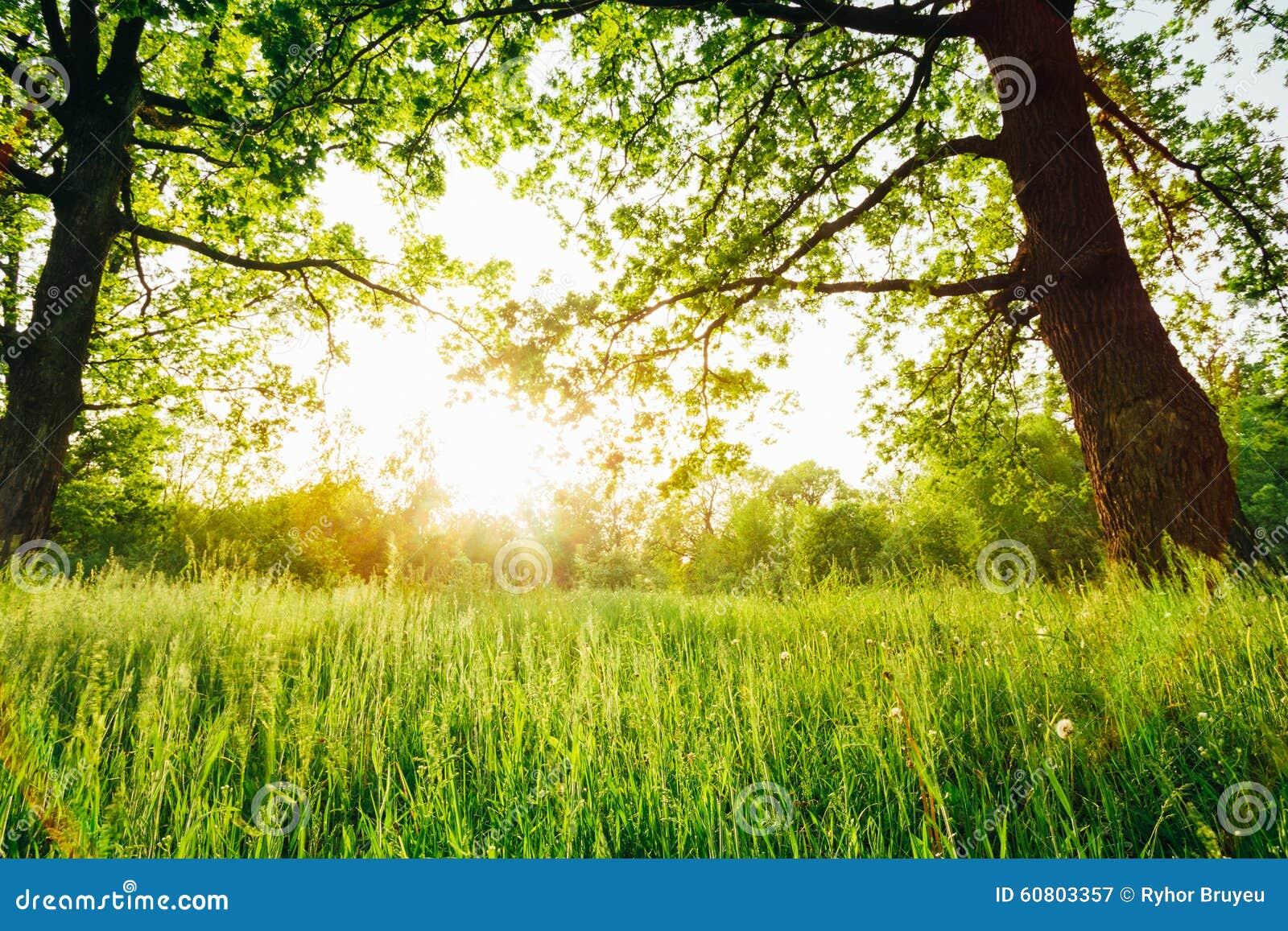 Лесные деревья лета солнечные и зеленая трава