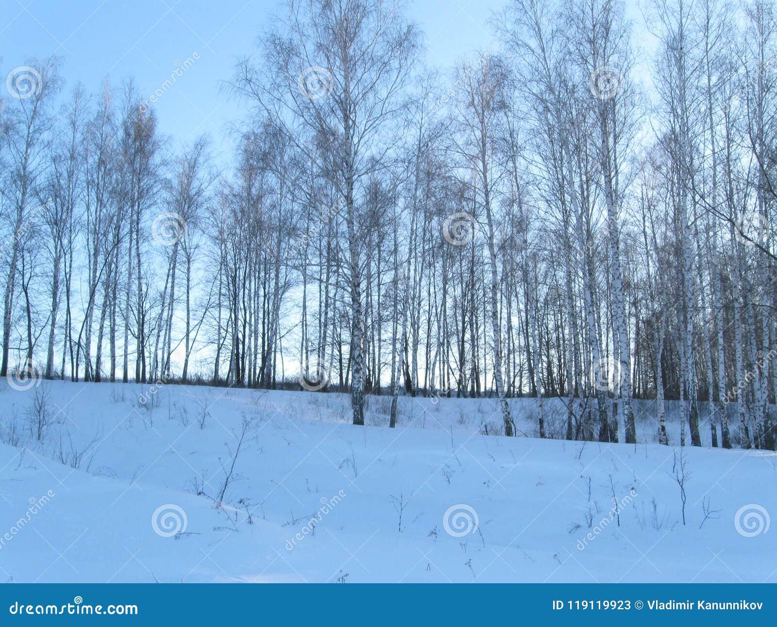 Лес березы зимы молодой