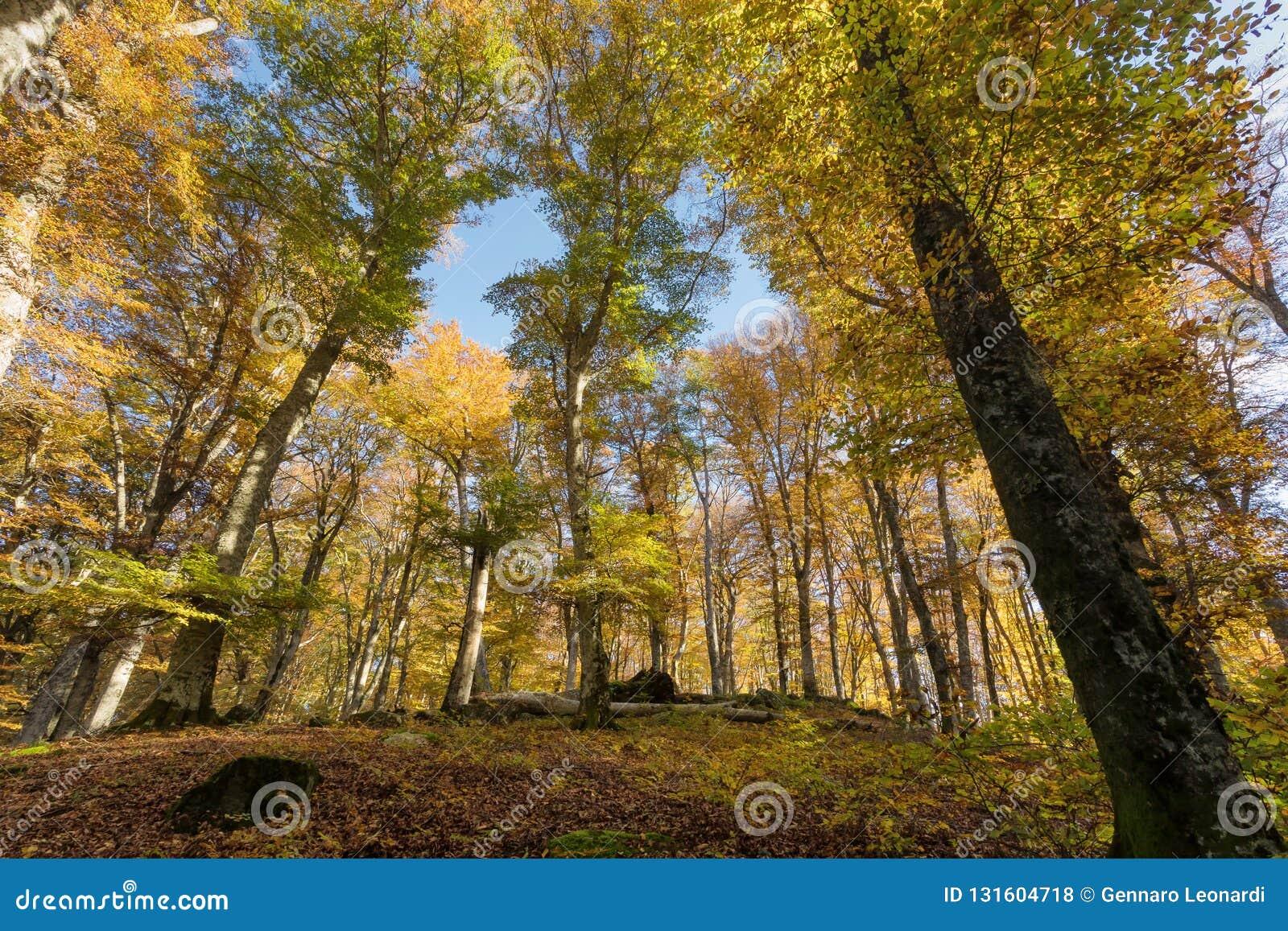 Лес бука с деревьями внутри освещает контржурным светом Сухие листья подлеска Цвета, ветви и хоботы осени без листьев покрывала