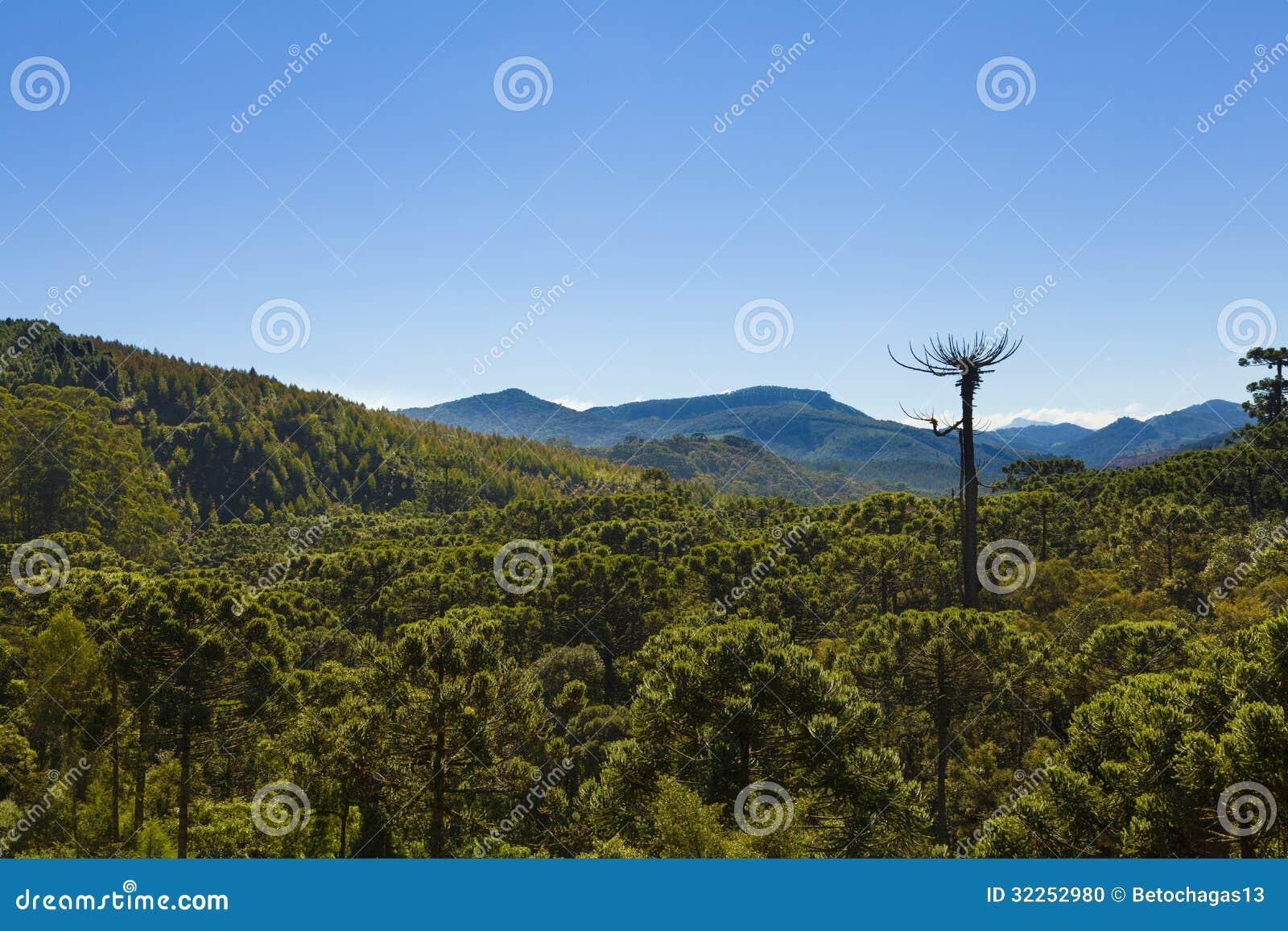 Лес дерева араукарии
