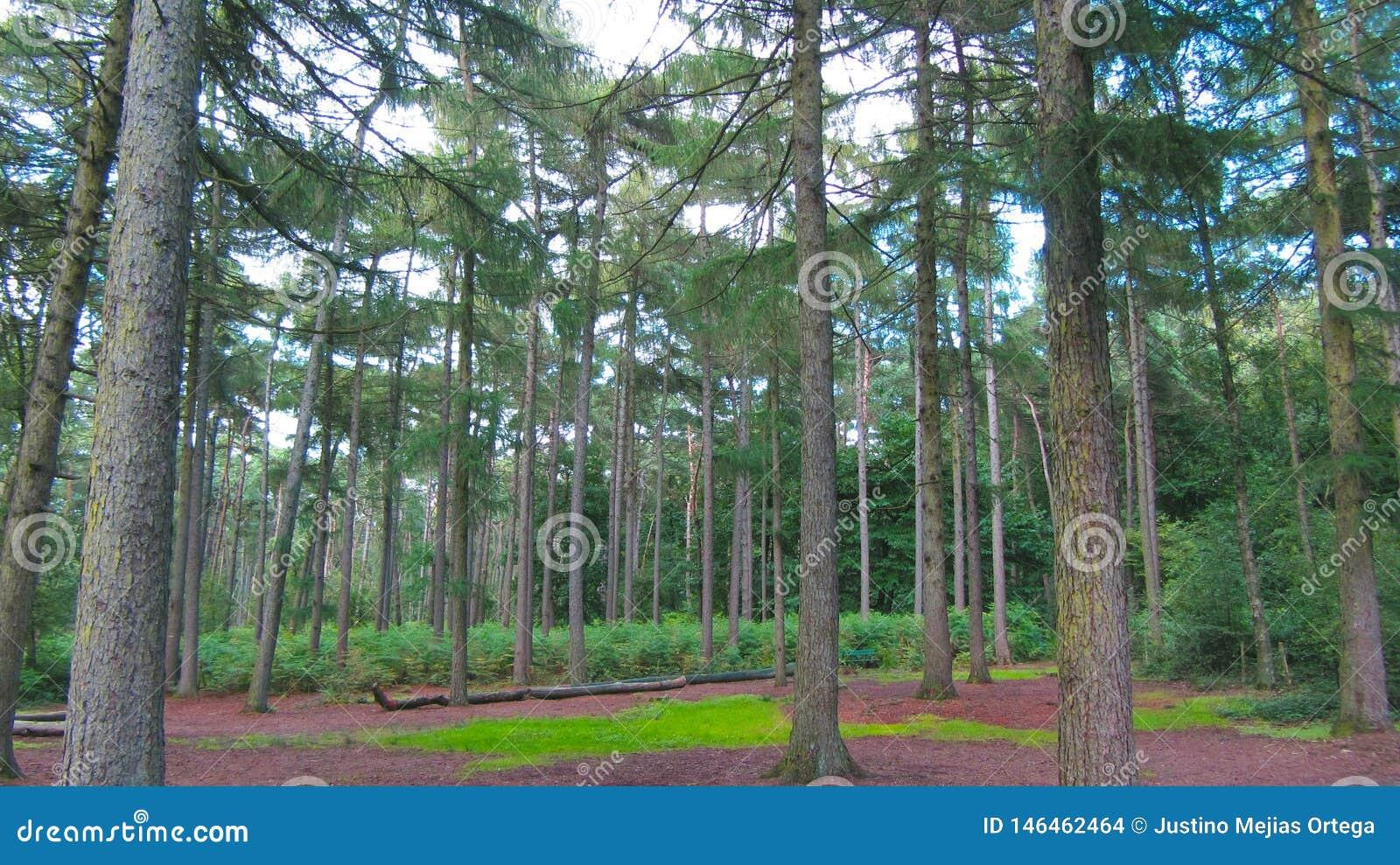 Лес зеленого цвета линии деревьев сфокусировал