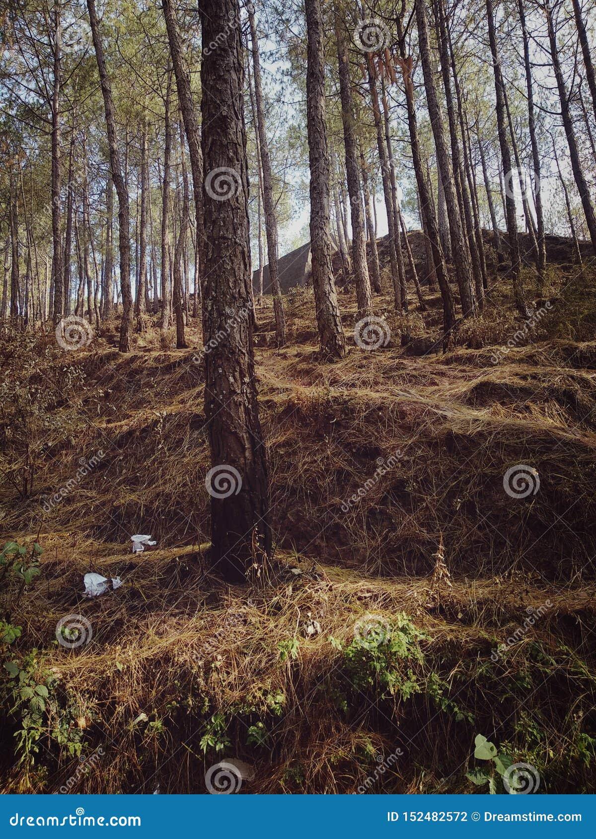 Лес с большими деревьями