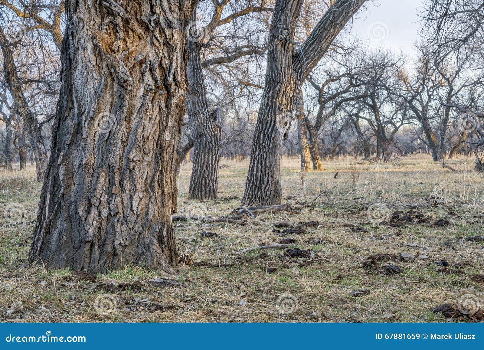 Лес Riparian в восточном Колорадо