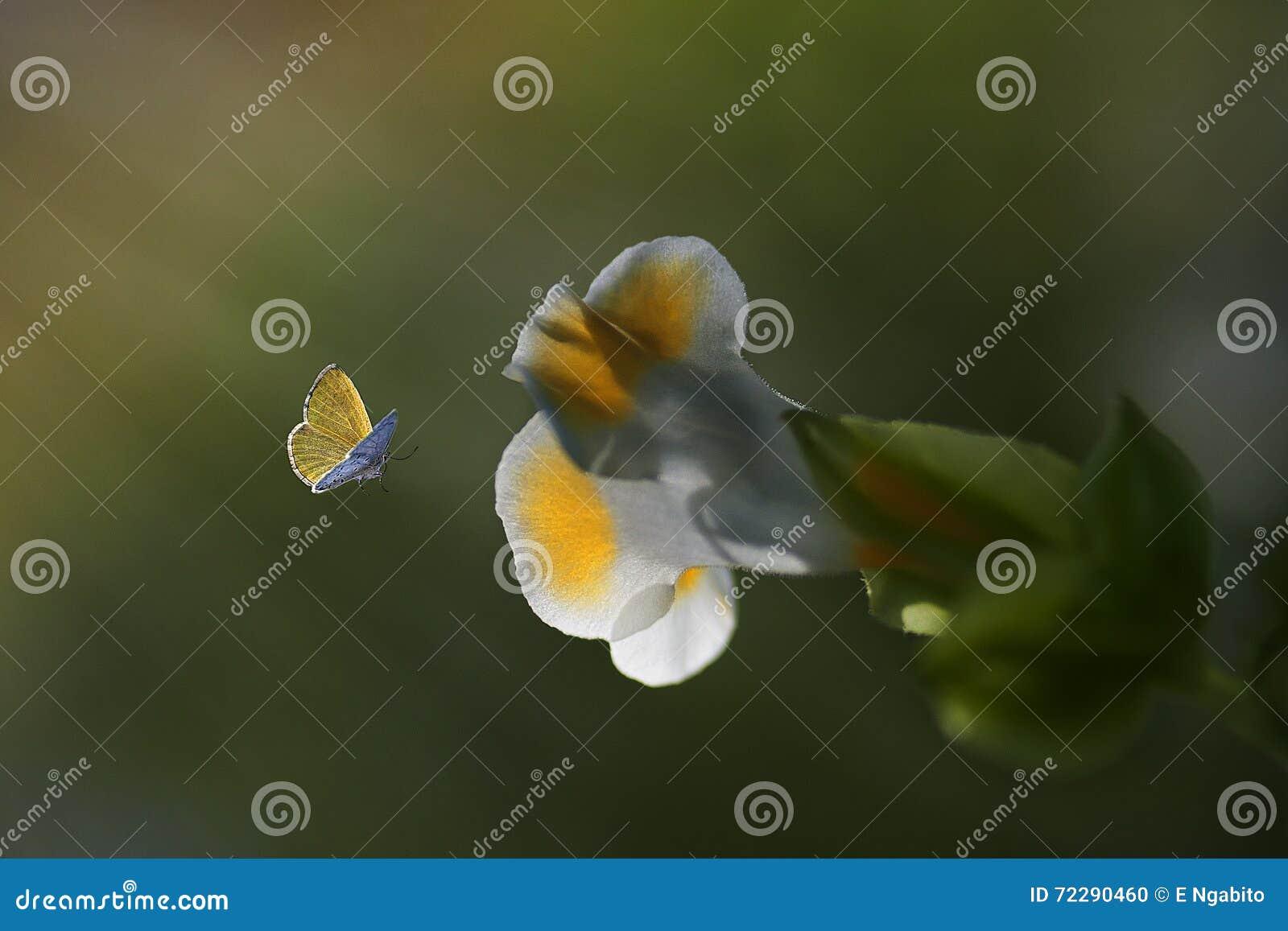 Download Летание бабочки крупного плана желтое Стоковое Фото - изображение насчитывающей садовничать, бобра: 72290460