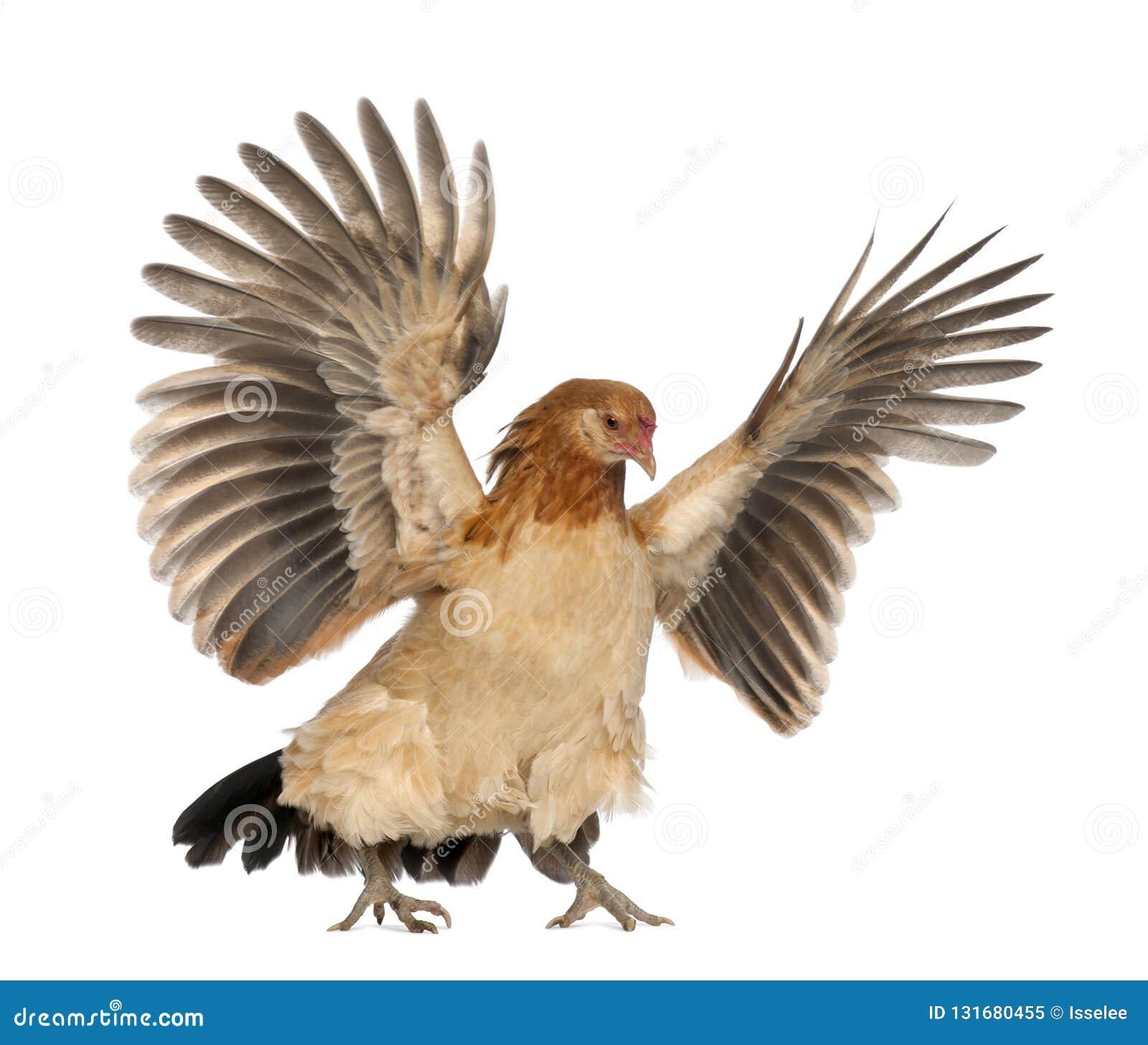 Летание курицы против белой предпосылки